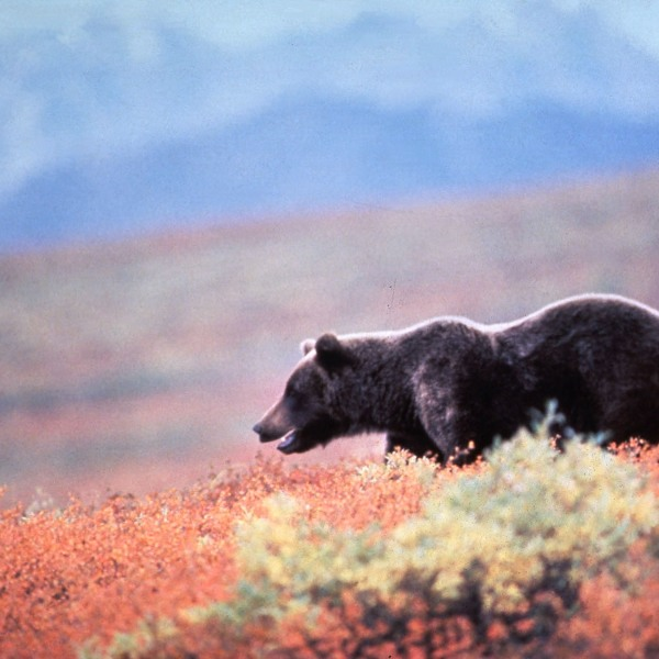 An undated file photo shows a grizzly bear In Alaska. (Getty Images)