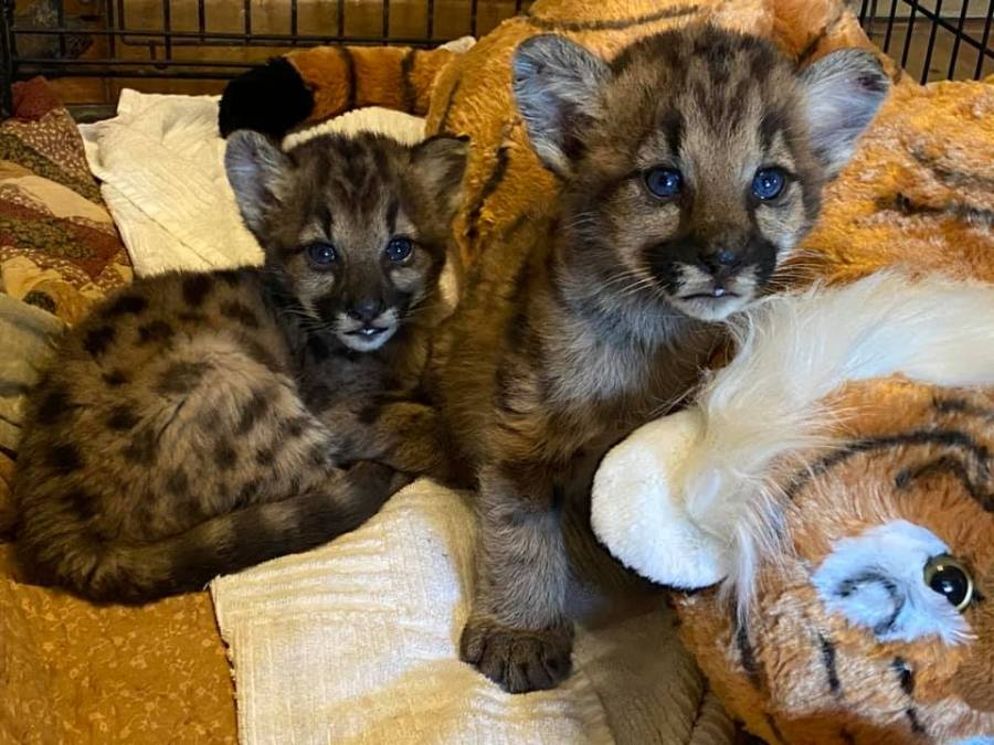 Photos of orphaned mountain lion kittens, female P-91 and male P-92, released by the Santa Monica Mountains National Recreation Area.