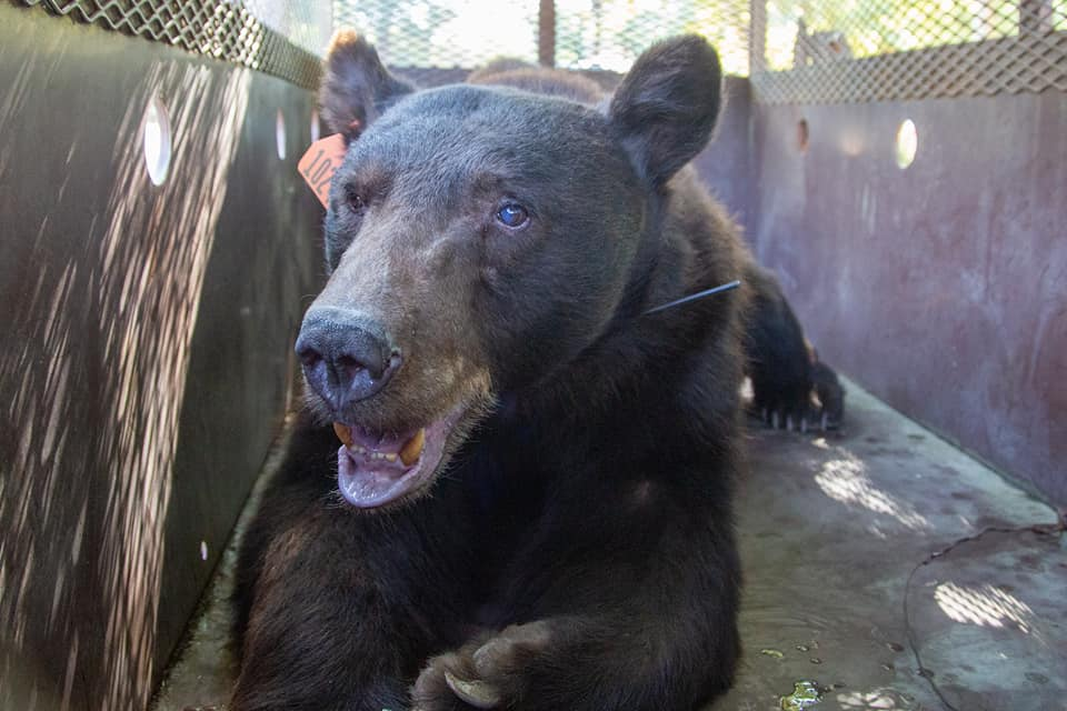 A male black bear whose feet were badly burned in a North Complex fire in Butte County, California, was released back into the wild on Oct. 5, 2020. (California Department of Fish and Wildlife via Storyful)