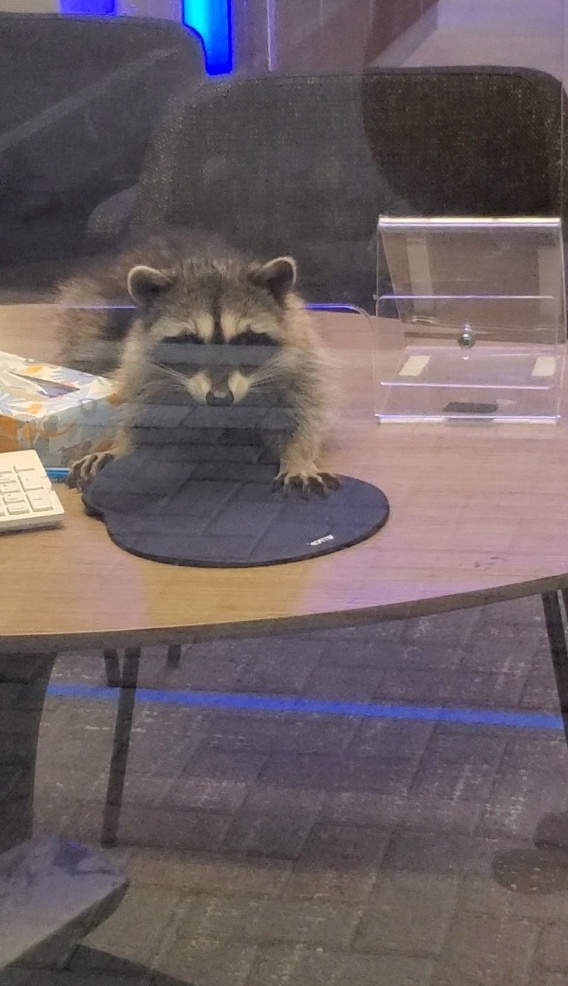 A pair of raccoons that broke into a bank in Redwood City, California, on Oct. 20, 2020. (Peninsula Humane Society & SPCA via Storyful)