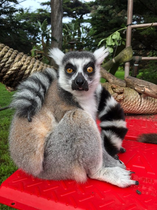 Police say someone broke into the San Francisco Zoo and stole a 21-year-old male lemur named Maki on Oct. 14, 2020. (San Francisco Zoo)