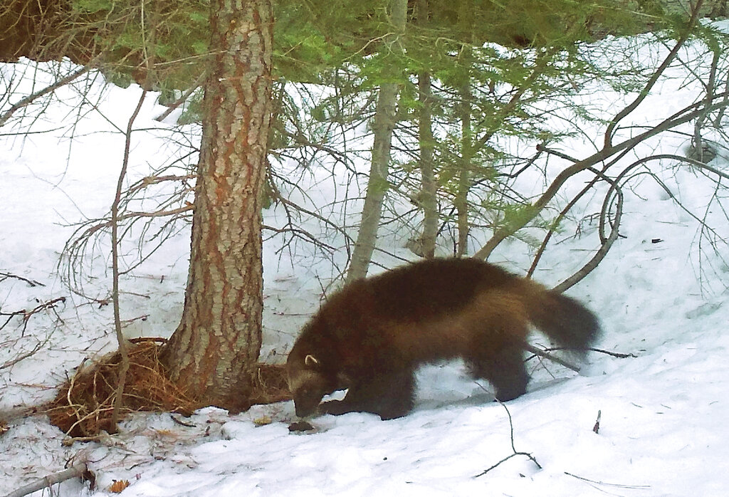 This on Feb. 27, 2016, file photo provided by the California Department of Fish and Wildlife, from a remote camera set by biologist Chris Stermer, shows a mountain wolverine in the Tahoe National Forest near Truckee, Calif., a rare sighting of the predator in the state. (Chris Stermer/California Department of Fish and Wildlife via AP, File)