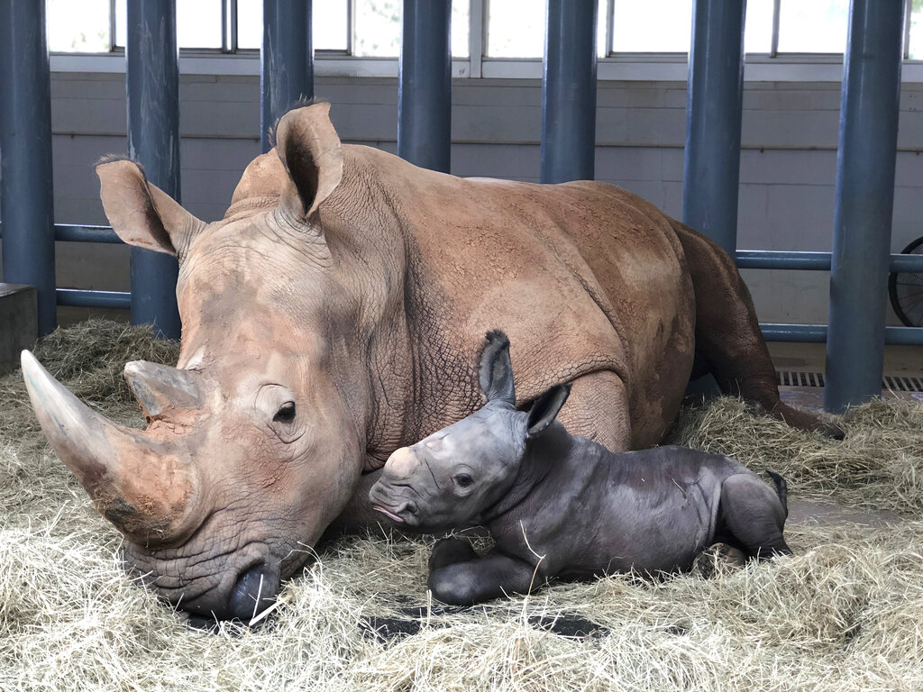 In this image provided by Walt Disney World, white rhinoceros Kendi, left, shows off a baby male rhino she gave birth to Sunday, Oct. 25, 2020, at Disney's Animal Kingdom at Walt Disney World Resort in Lake Buena Vista, Fla. (Walt Disney World via AP)