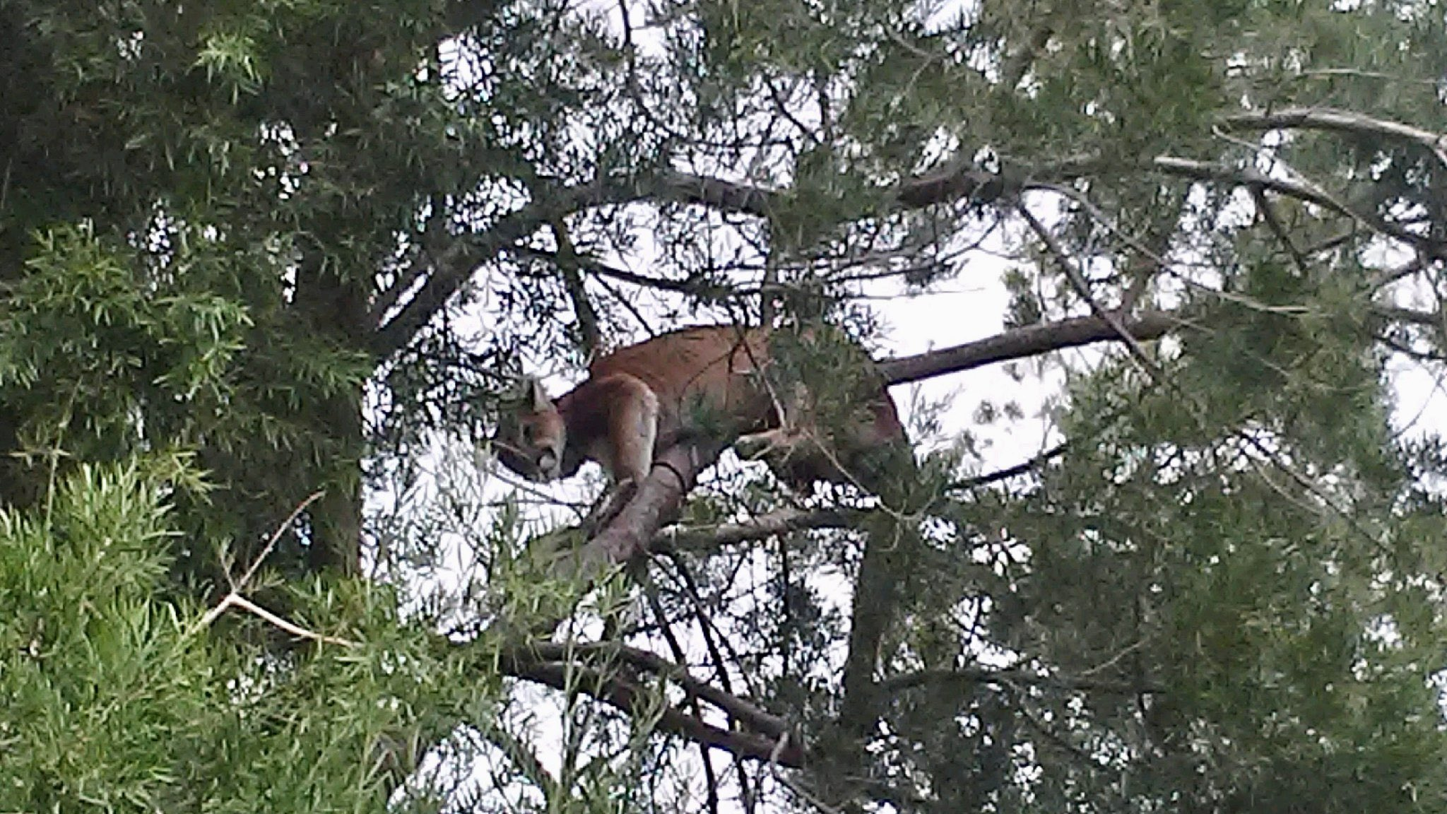 A mountain lion spotted in a tree in Agoura Hills on Oct. 24, 2020. (LASD Lost Hills Station/Twitter)