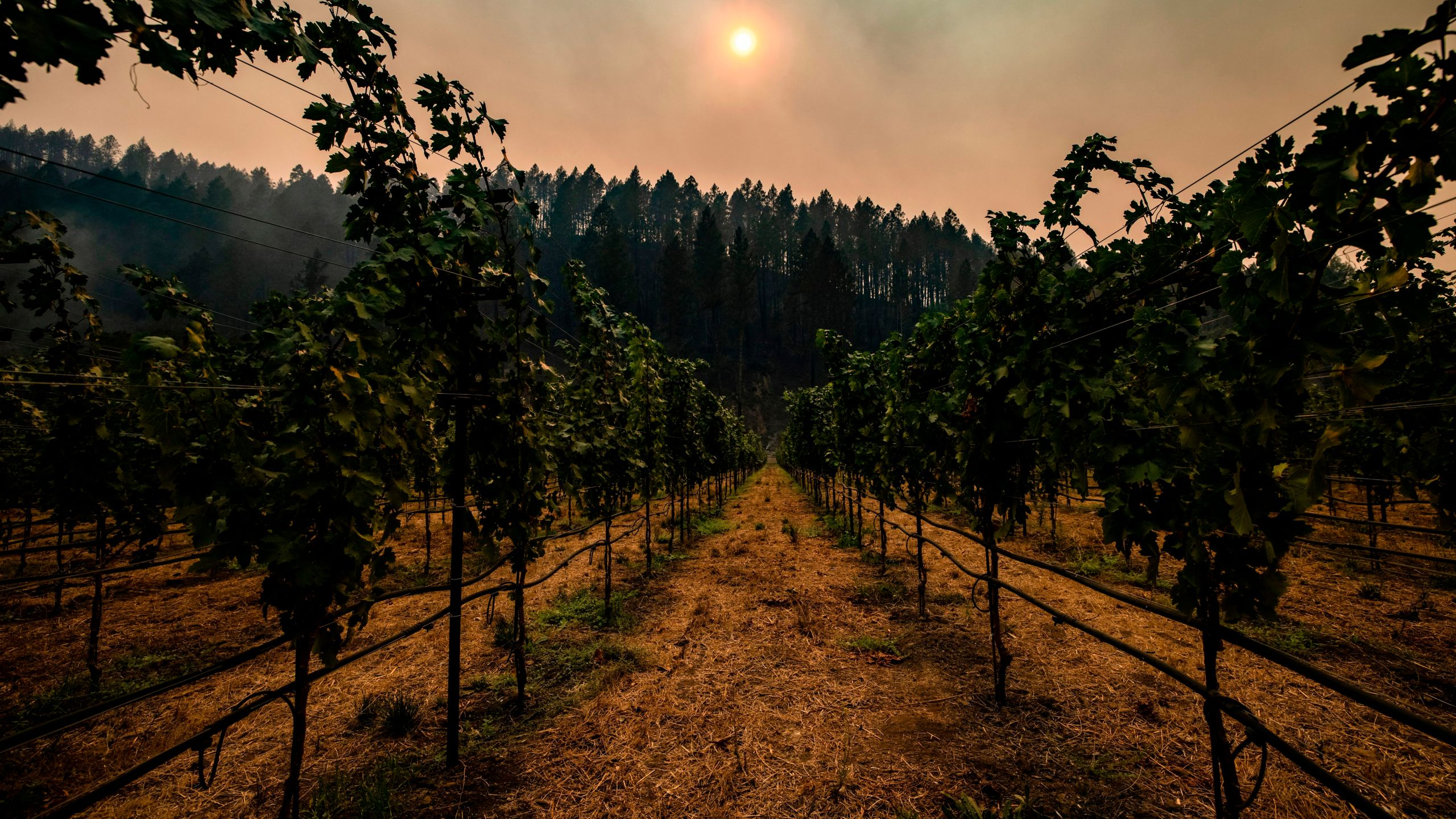 Smoke hangs amongst charred trees on the hillside behind a vineyard in Napa Valley on Sept. 28, 2020. (SAMUEL CORUM/AFP via Getty Images)
