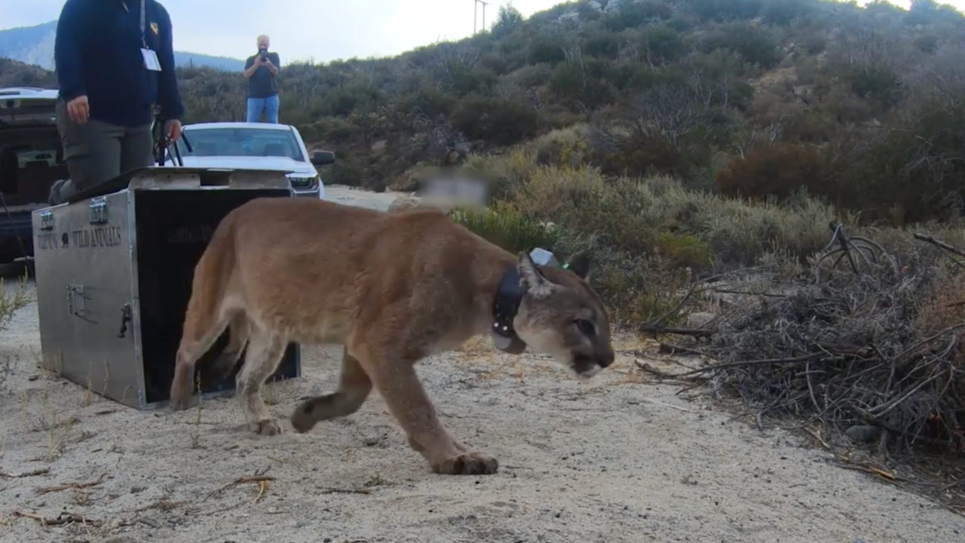 A mountain lion released back into the wild in October 2020 after being burned in the Bobcat Fire. (CDFW)