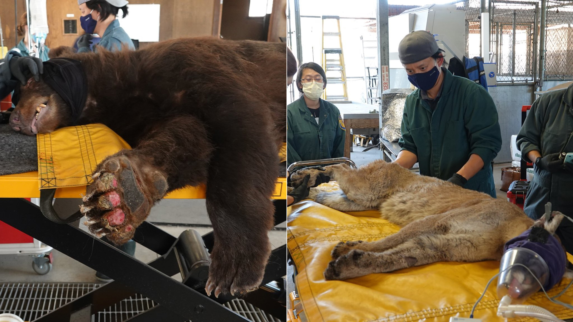 A bear and mountain lion injured in California wildfires are shown in photos released by the California Department of Fish and Wildlife on Oct. 5, 2020.