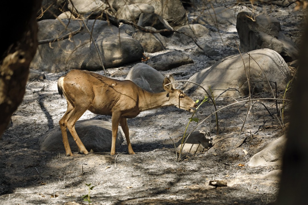 A deer searches for food after the Bobcat fire devastated its habitat in the San Gabriel Mountains. (Carolyn Cole / Los Angeles Times)