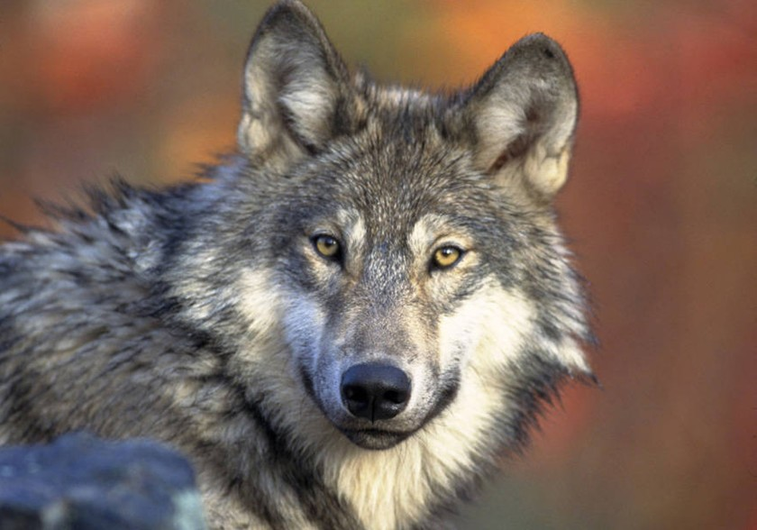 A gray wolf is seen in an undated file photo. (Gary Kramer / USFWS)