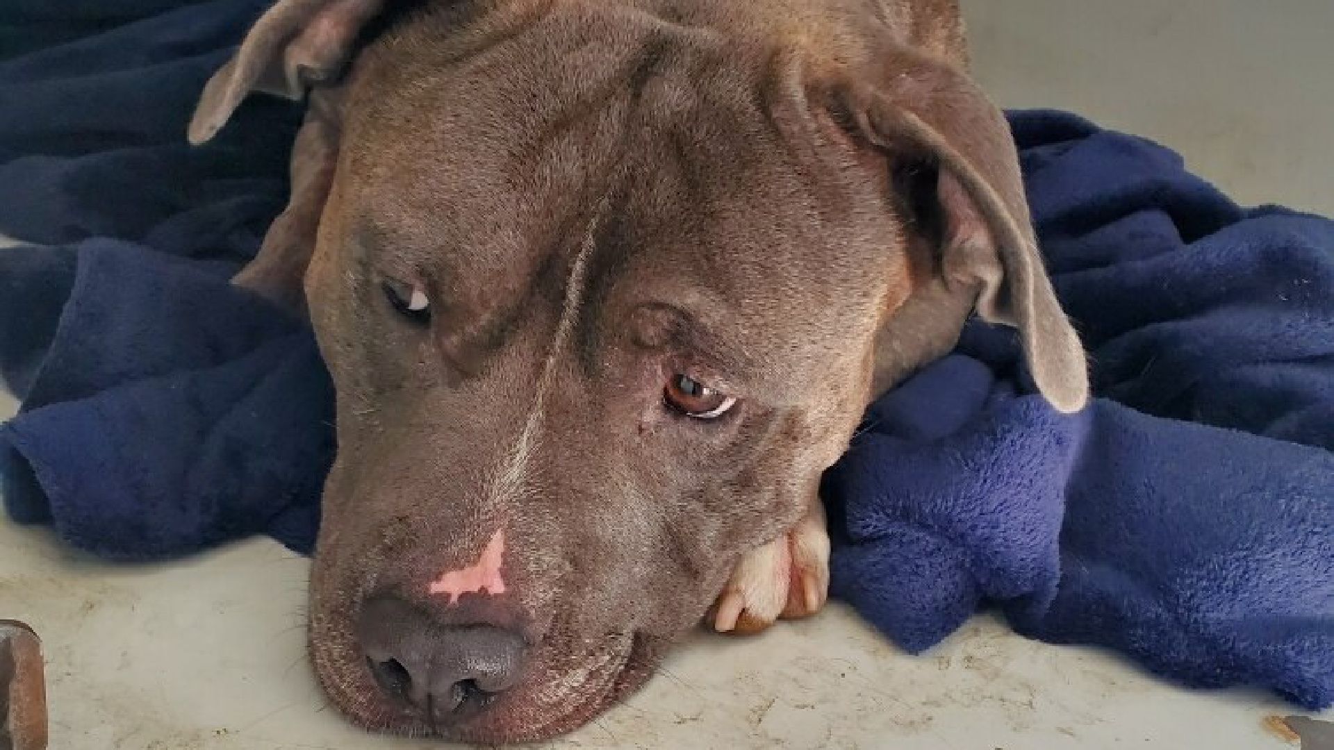 Riverside County Animal Services released this photo of a pit bull that was euthanized after being stabbed in the neck on Oct. 11, 2020.