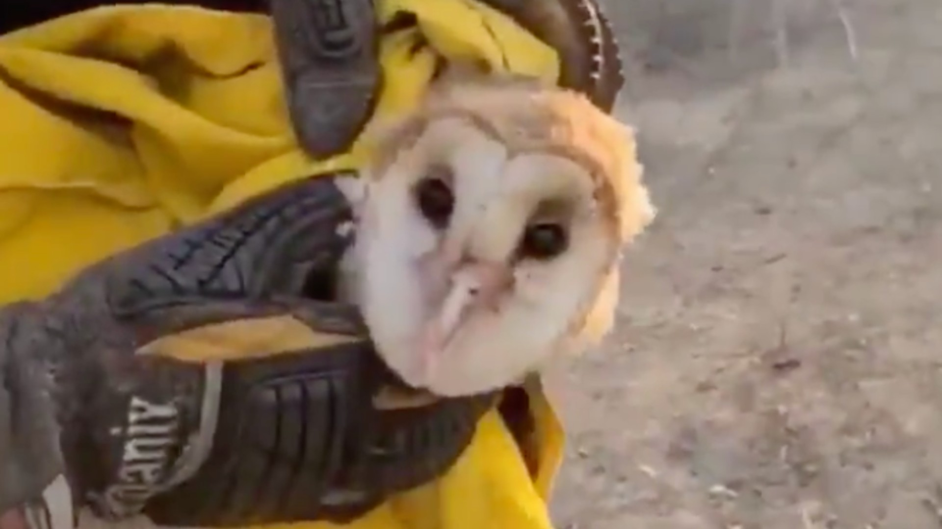 A barn owl was rescued by firefighters from the Silverado Fire on Oct. 27, 2020. (Orange County Fire Authority)