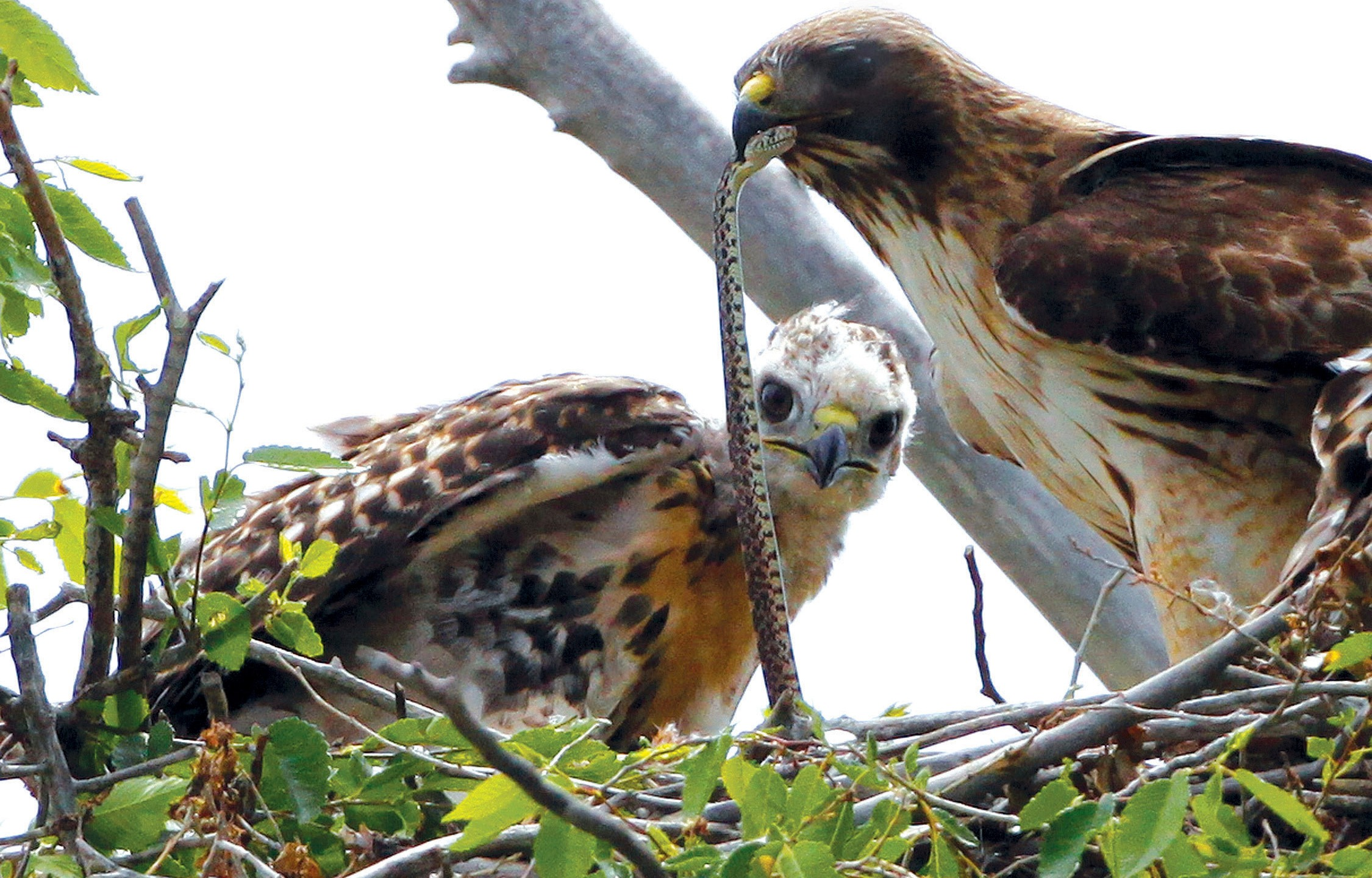 This June 5, 2009, file photo shows a Redtail hawk feeding a snake to one of her young ones nested at the Rocky Mountain Wildlife Refuge in Commerce City, Colo. (Ed Andrieski/AP Photo)