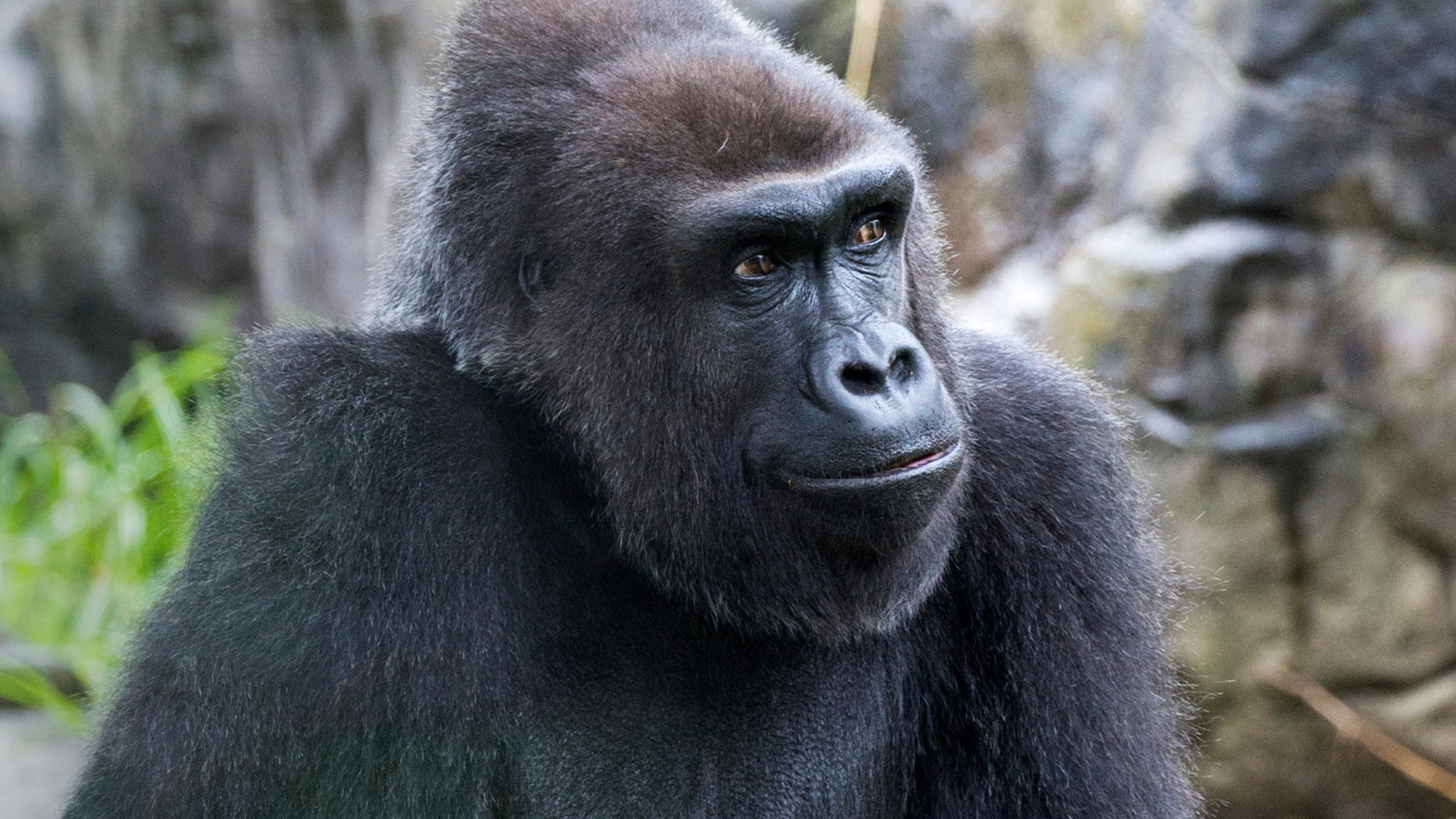 This 2017 photo provided by the San Francisco Zoo & Gardens shows Zura, a Western lowland female gorilla. (Marianne V. Hale/San Francisco Zoo & Gardens via AP)