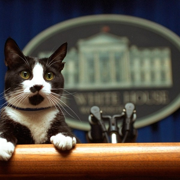 In this March 19, 1994, file photo, President Bill Clinton's cat Socks peers over the podium in the White House briefing room. (Marcy Nighswander / Associated Press)