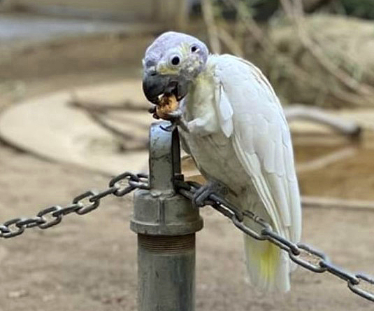This undated photo provided by the Fresno Chaffee Zoo shows a lesser sulphur-crested cockatoo, one of two aged birds that were taken from the zoo's Australian Asian Aviary in Fresno, Calif., in the predawn hours of Sunday, Nov. 29, 2020. (Fresno Chaffee Zoo via AP)
