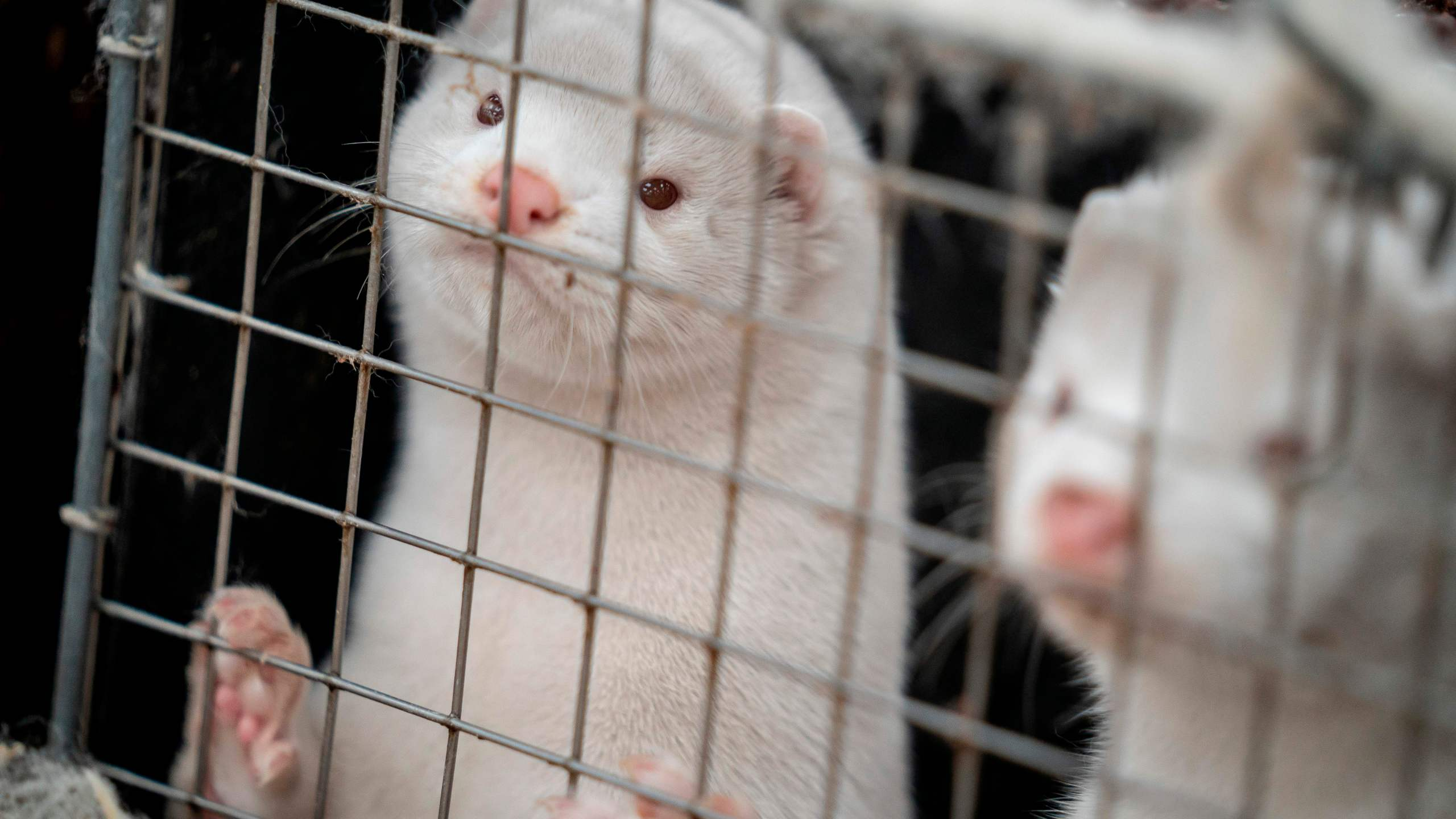 Mink look out from their cage at the farm of Henrik Nordgaard Hansen and Ann-Mona Kulsoe Larsen, who have to kill off their herd which consists of 3000 mother mink and their cubs on their farm near Naestved, Denmark. (MADS CLAUS RASMUSSEN/Ritzau Scanpix/AFP via Getty Images)