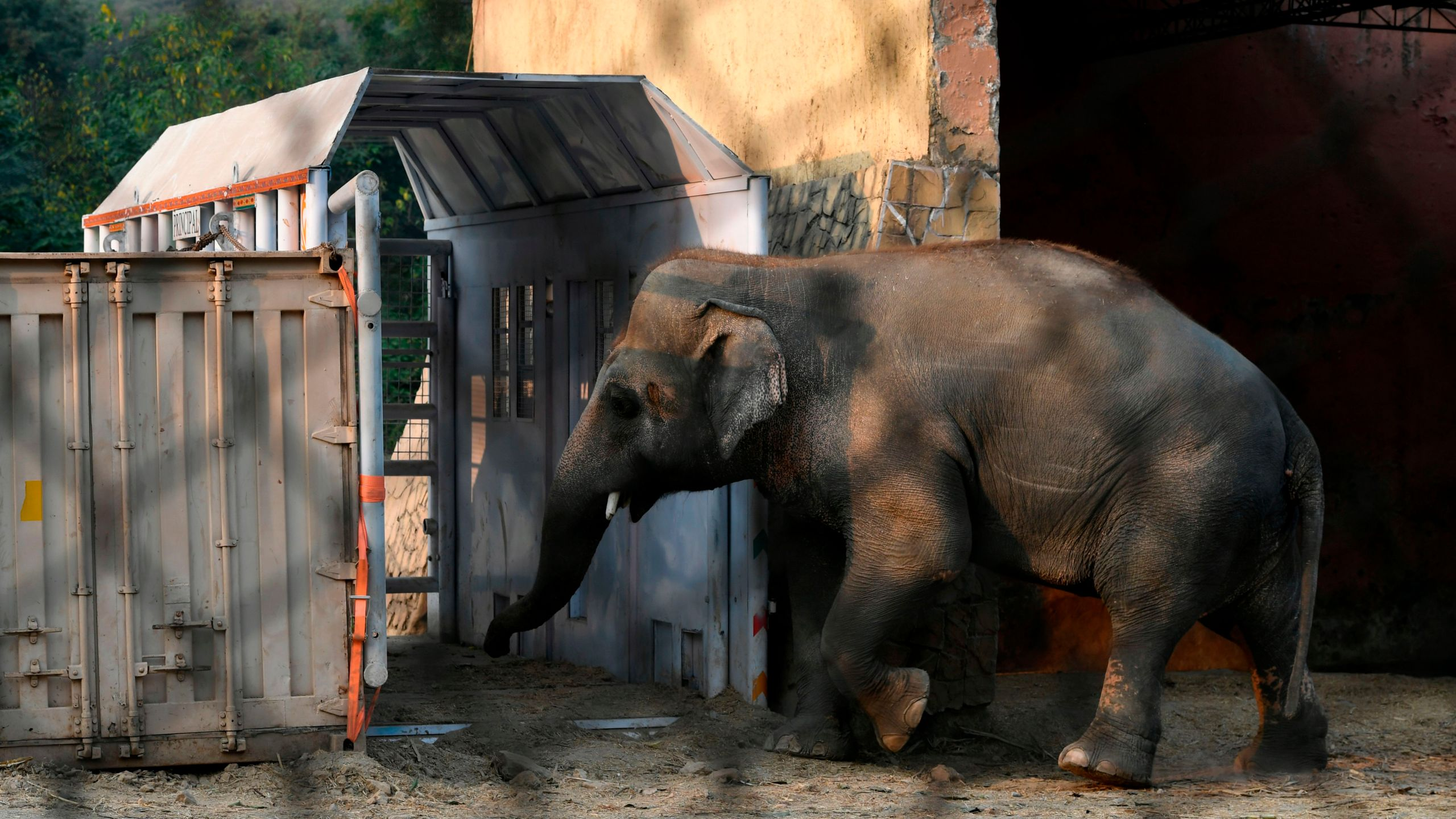 Kavaan, Pakistan's only Asian elephant, enters to feed inside a transport crate to make him habituated before traveling to a sanctuary in Cambodia later this month, at the Marghazar Zoo in Islamabad on November 11, 2020. - The plight of Kaavan, an overweight, 35-year-old bull elephant has drawn international condemnation and highlighted the woeful state of Islamabad's zoo, where conditions are so bad a judge in May ordered all the animals to be moved. (AAMIR QURESHI/AFP via Getty Images)