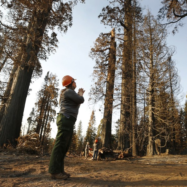 Kristen Shive, science director for the Save the Redwoods League, stands in the Alder Creek Grove, where some sequoias didn't survive California's Castle fire.(Al Seib / Los Angeles Times)
