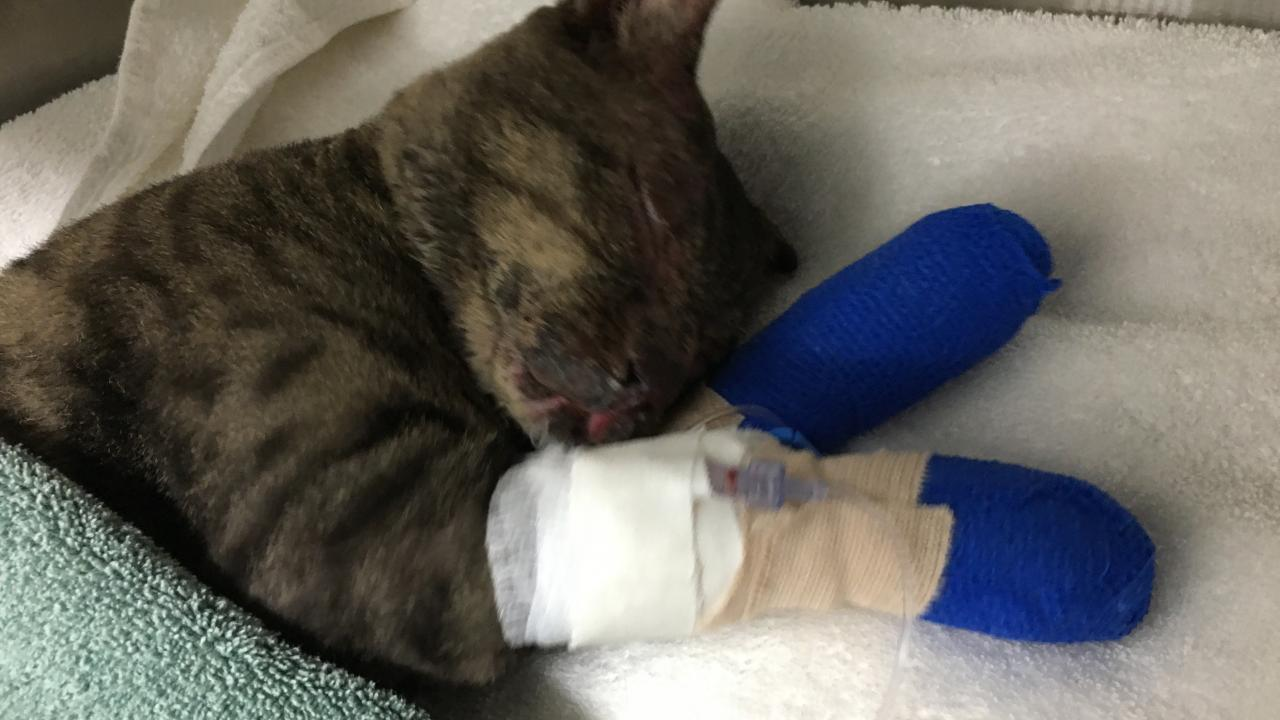 A cat named Ned rests after a bandage change at the UC Davis veterinary hospital in this photo released by the university on Nov. 20, 2020.