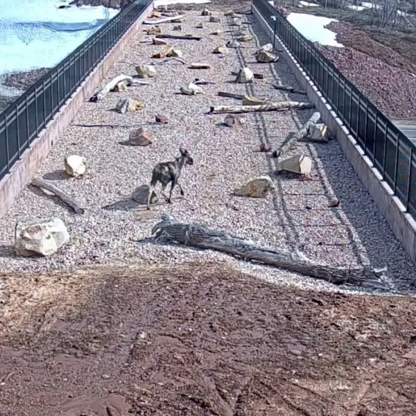 An image from a video demonstrating the success of the wildlife crossing bridge above Interstate-80. (Utah Division of Wildlife Resources)