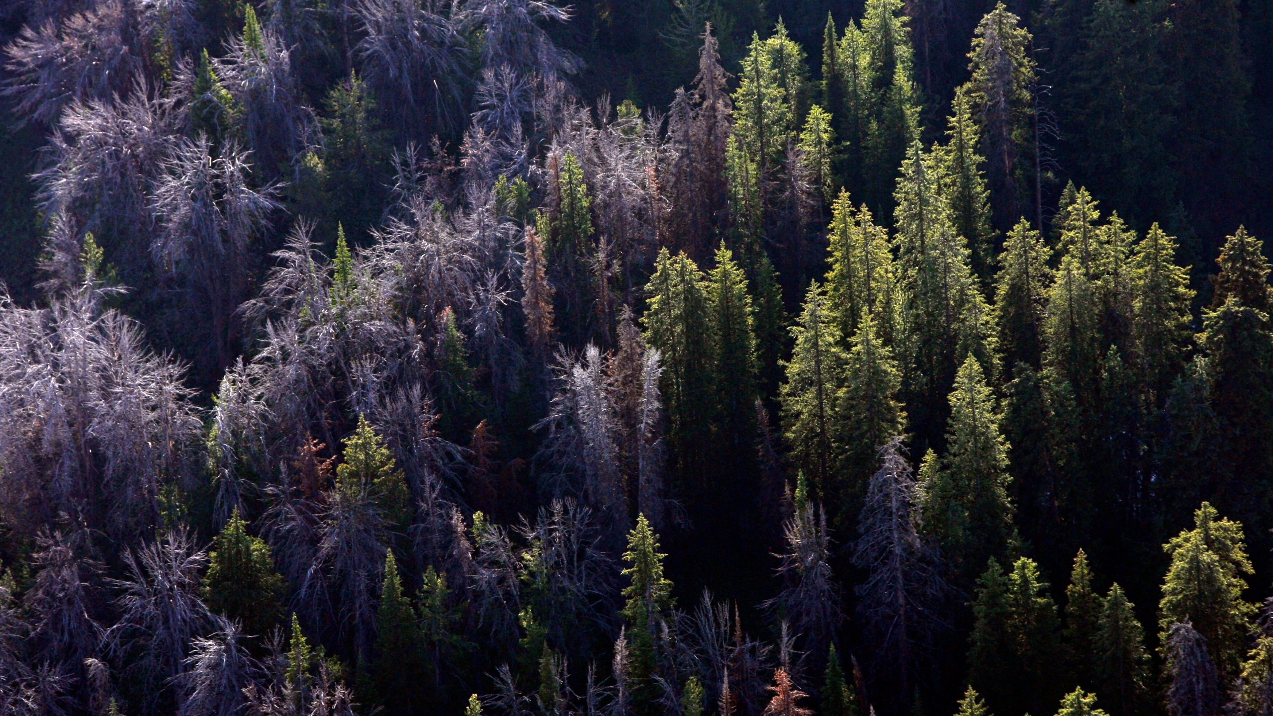 This Aug. 1, 2011 file photo, shows whitebark pine that have succumbed to mountain pine beetles through the Gros Ventre area east of Jackson Hole, Wyo. U.S. officials say climate change, beetles and a deadly fungus are imperiling the long-term survival of the high-elevation tree found in the western U.S. (Rick Egan/The Salt Lake Tribune via AP, File)