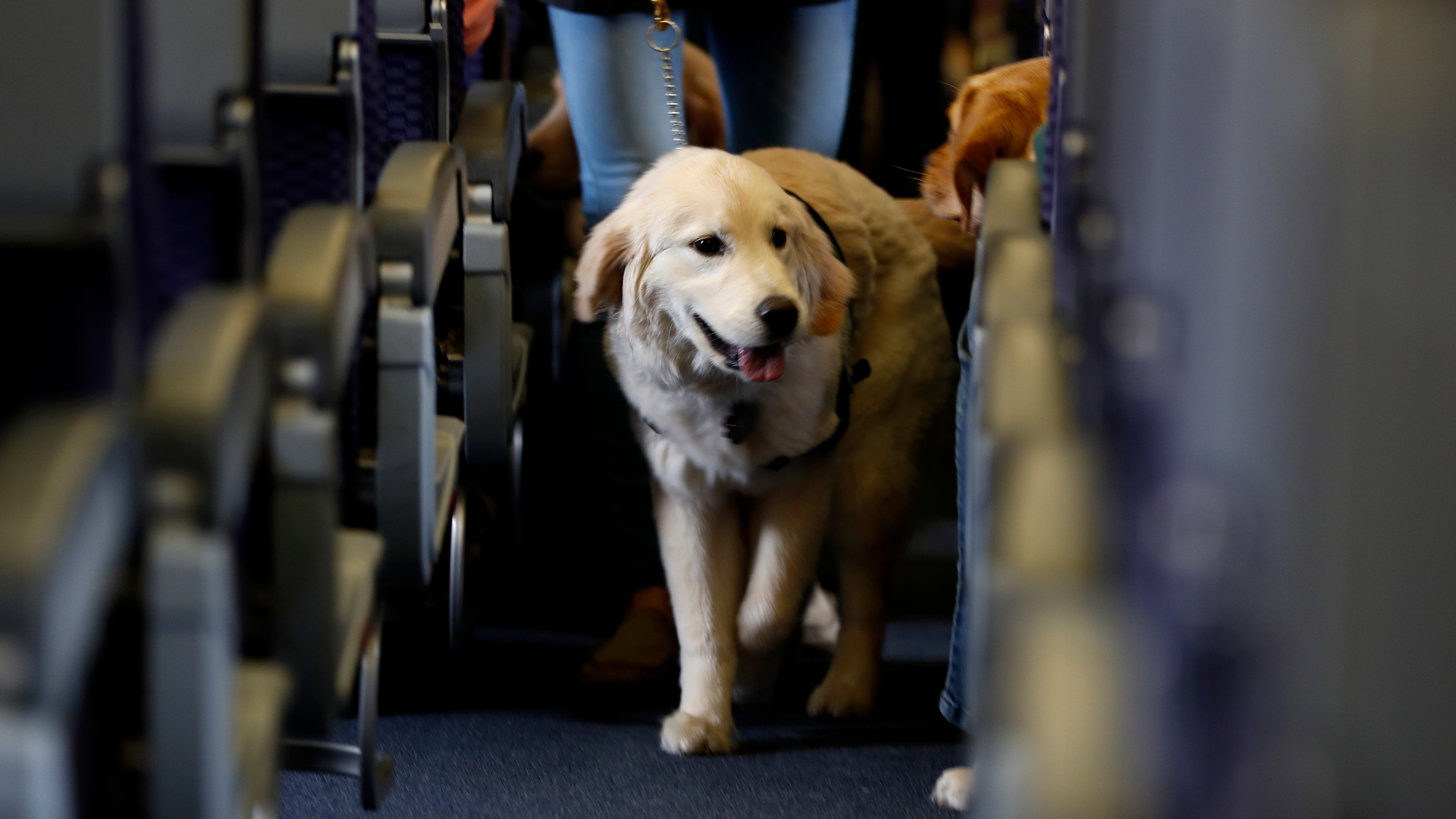 In this April 1, 2017 file photo, a service dog strolls through the isle inside a United Airlines plane at Newark Liberty International Airport while taking part in a training exercise in Newark, N.J. (AP Photo/Julio Cortez, File)