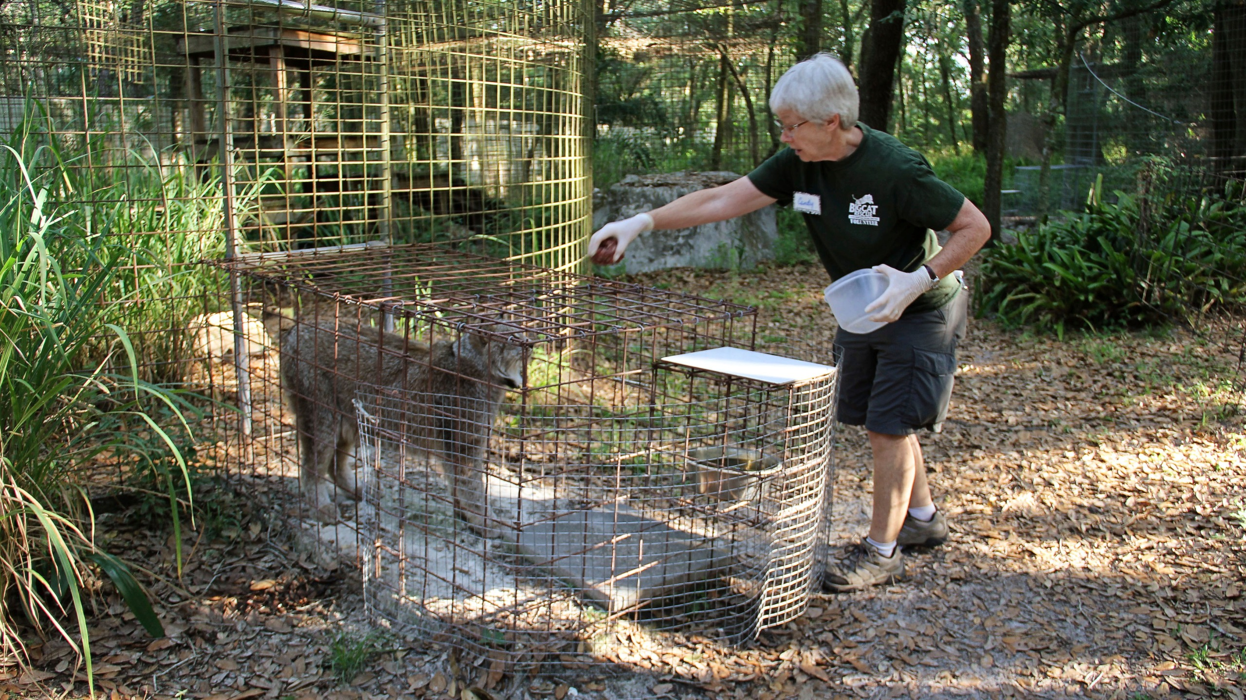 "In this 2018 photo provided by Big Cat Rescue, volunteer Candy Couser feeds a lynx at Carole Baskin's Big Cat Rescue sanctuary near Tampa, Fla. Couser, who regularly feeds big cats was bitten and seriously injured by a tiger Thursday morning, Dec. 3, 2020, at the sanctuary, which was made famous by the Netflix series ""Tiger King,"" officials said. (Big Cat Rescue via AP)"