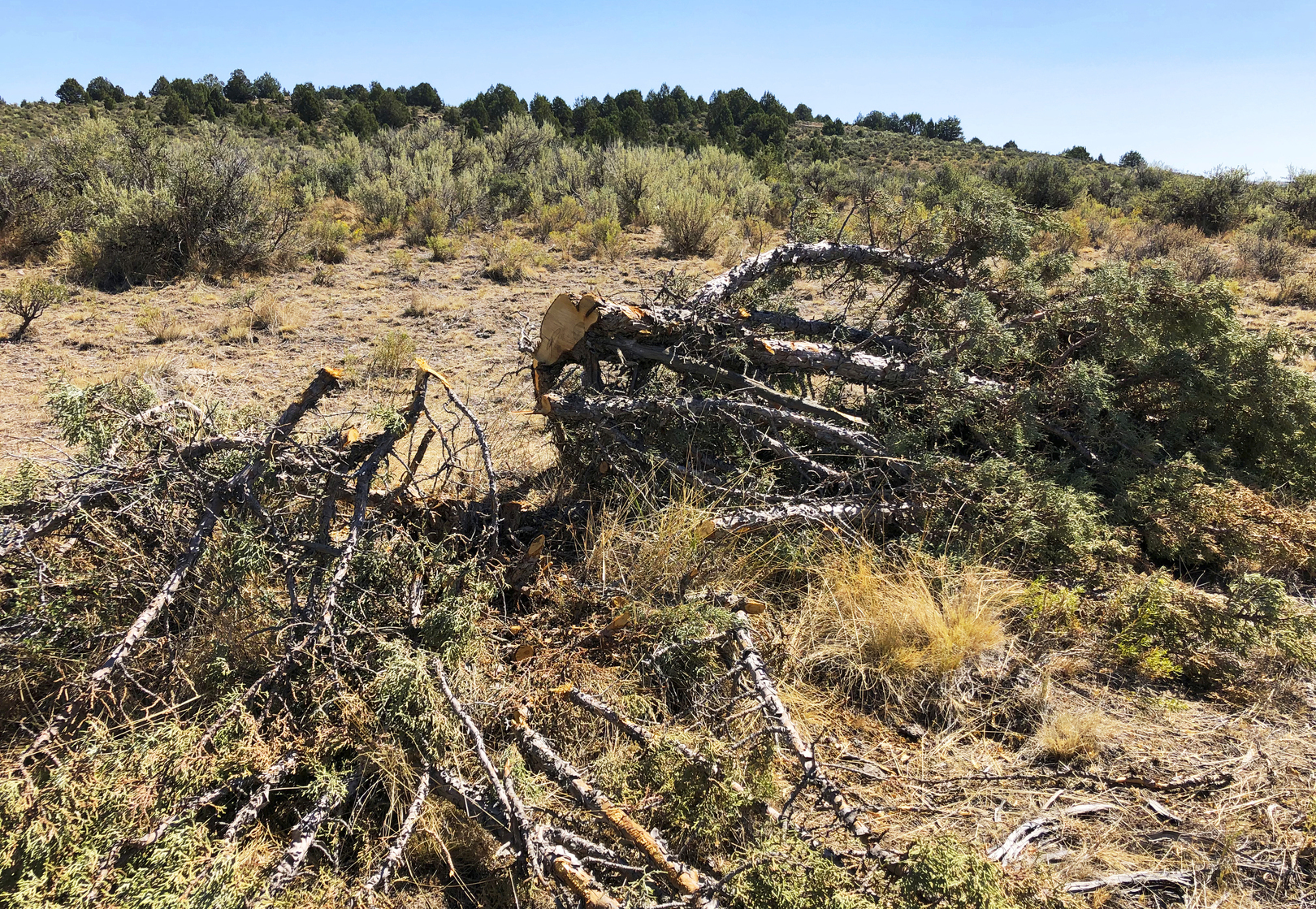 In this Aug. 15, 2019, file photo, is a juniper tree cut down as part of a giant project to remove junipers encroaching on sagebrush habitat needed by imperiled sage grouse in southwestern Idaho. (AP Photo/Keith Ridler, File)