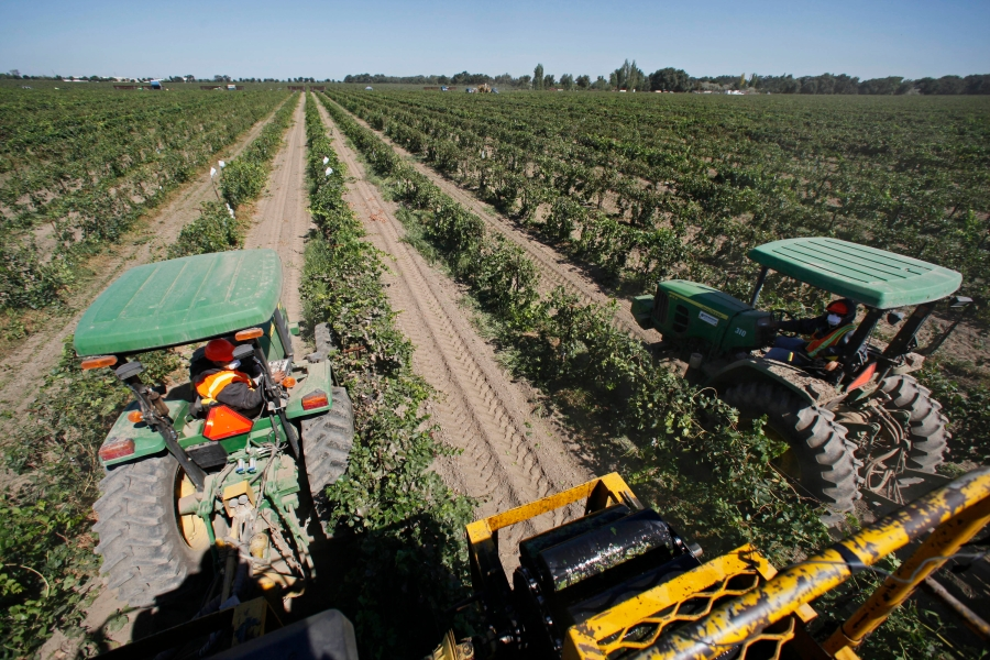 In this Sept. 16, 2009, file photo, a pair of tractors pull mechanical harvesters as they make their way through rows of Pinot Grigio grapes in Lodi, Calif. In San Joaquin County, part of California's vast Central Valley that produces most of the country's fruits and vegetables, the coronavirus is the leading cause of death this year and things will only worsen as infections skyrocket and hospitals fill beyond capacity. Like most of California, the city of Lodi is under a broad shutdown order as Christmas approaches, and its residents and businesses are grappling with how to stay safe while keeping their economy operating. (AP Photo/Eric Risberg, File)