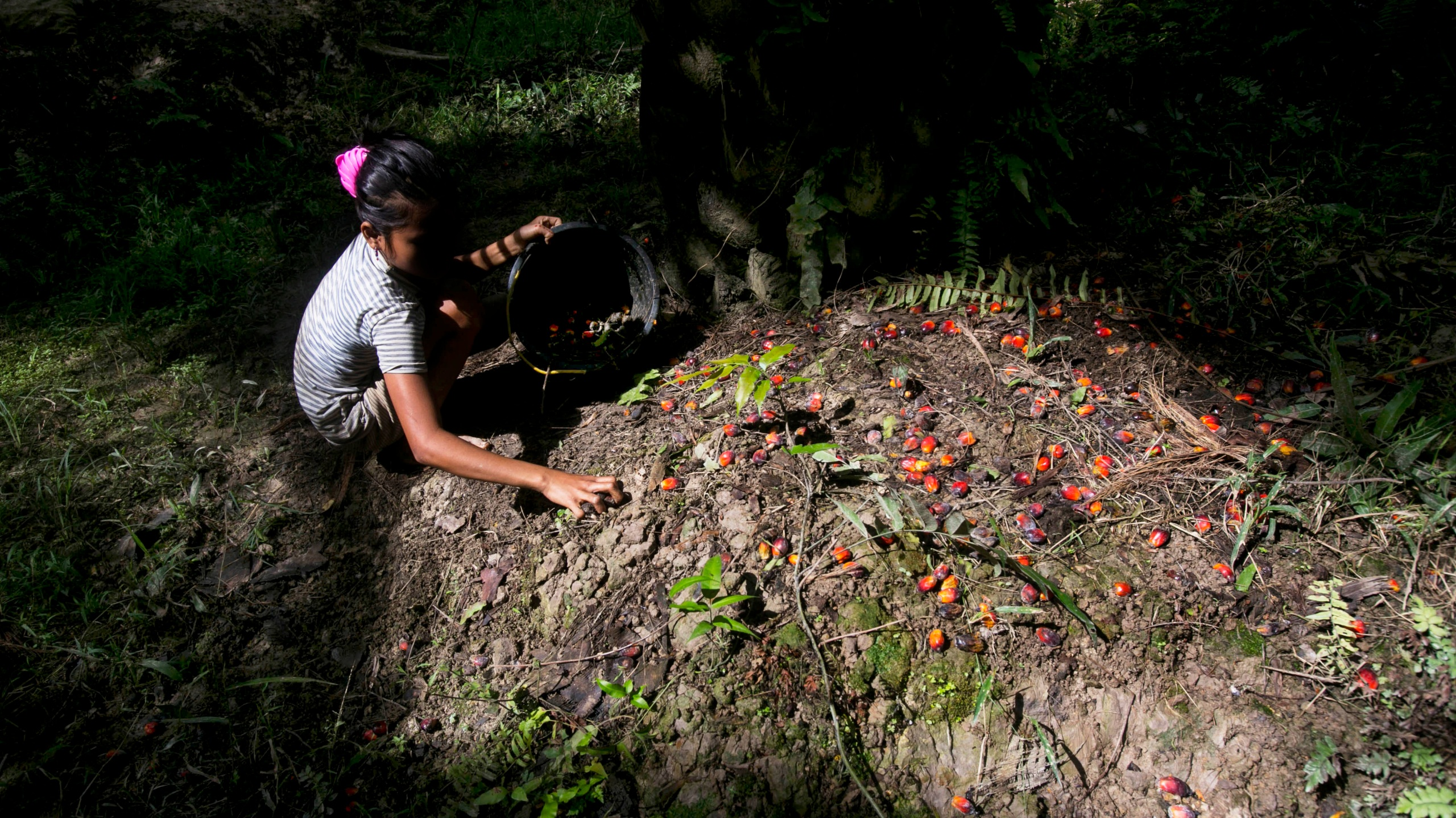 A child collects palm kernels from the ground at a palm oil plantation in Sumatra, Indonesia, on Nov. 13, 2017. (Binsar Bakkara / Associated Press)