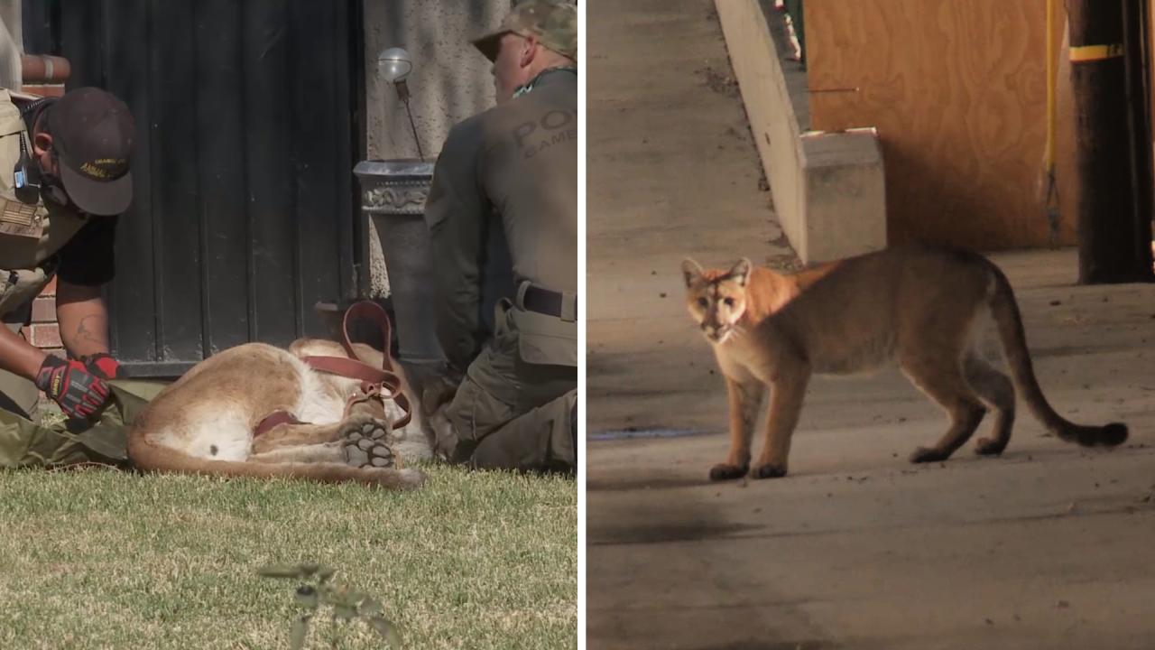 Mountain lion captured in Santa Ana neighborhood