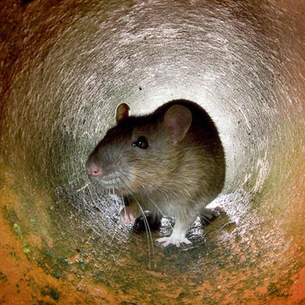 This undated photo shows a rat in the a pipe in London. (AFP via Getty Images)
