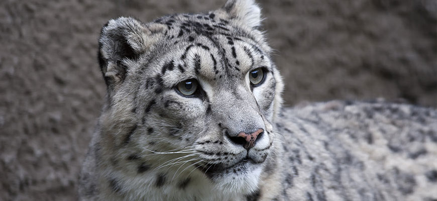 An undated photo from the Louisville Zoo website shows a snow leopard.