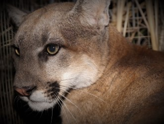 Mountain lion P-95 is seen in an undated photo released Jan. 26, 2021, by the Santa Monica Mountains National Recreations Area.