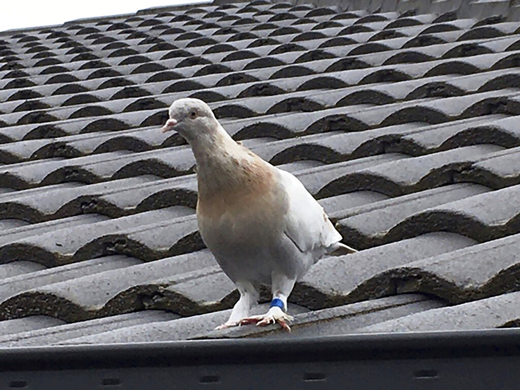 In this Jan. 12, 2021, file photo released by Kevin Celli-Bird, a pigeon with a blue leg band stands on a rooftop in Melbourne, Australia. (Kevin Celli-Bird via AP, File)