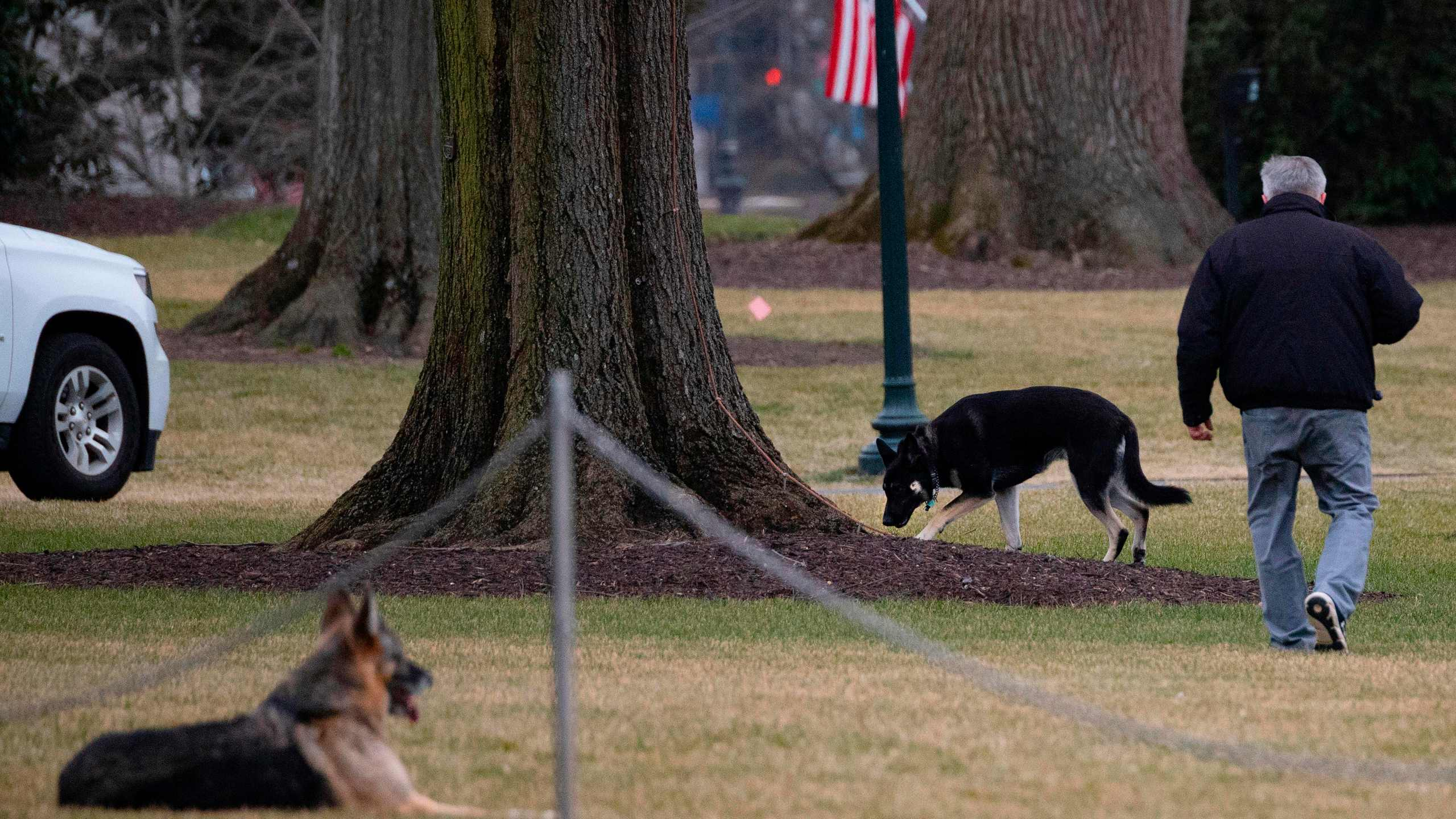 First dogs Champ and Major Biden are seen on the South Lawn of the White House on Jan. 25, 2021. (Jim Watson / AFP / Getty Images)