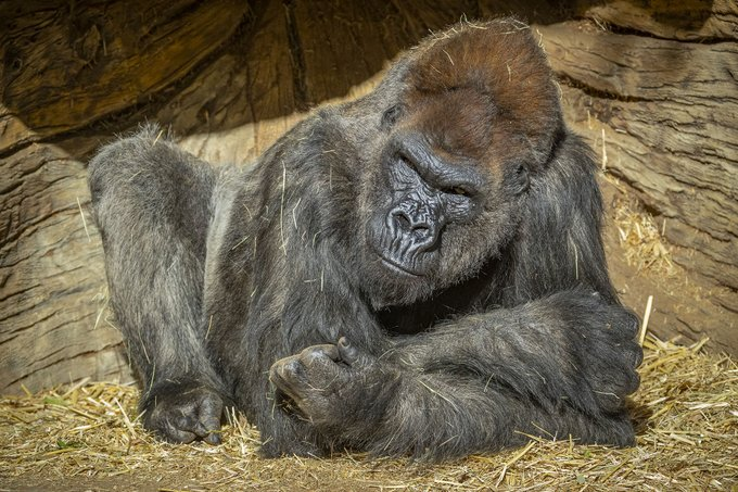 The San Diego Zoo Safari Park tweeted this image in announcing on Jan. 11, 2021 that some of its gorillas have tested positive for the coronavirus.