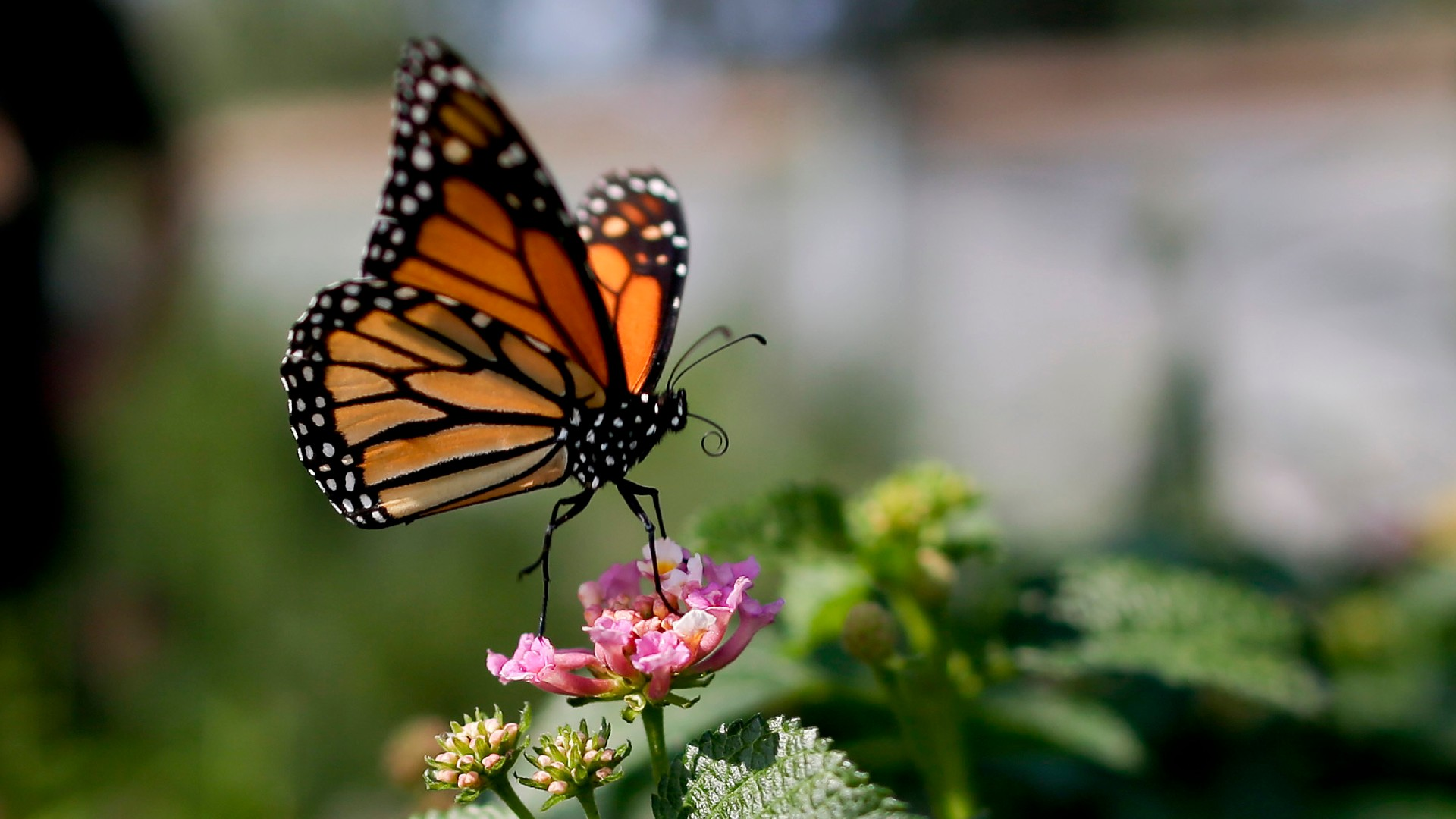 This Aug. 19, 2015, file photo, shows a monarch butterfly in Vista, Calif. The number of western monarch butterflies wintering along the California coast has plummeted to a new record low, putting the orange-and-black insects closer to extinction, researchers announced Tuesday, Jan. 19, 2021. A recent count by the Xerces Society recorded fewer than 2,000 butterflies, a massive decline from the millions of monarchs that in 1980s clustered in trees from Marin County to San Diego County. (AP Photo/Gregory Bull, File)
