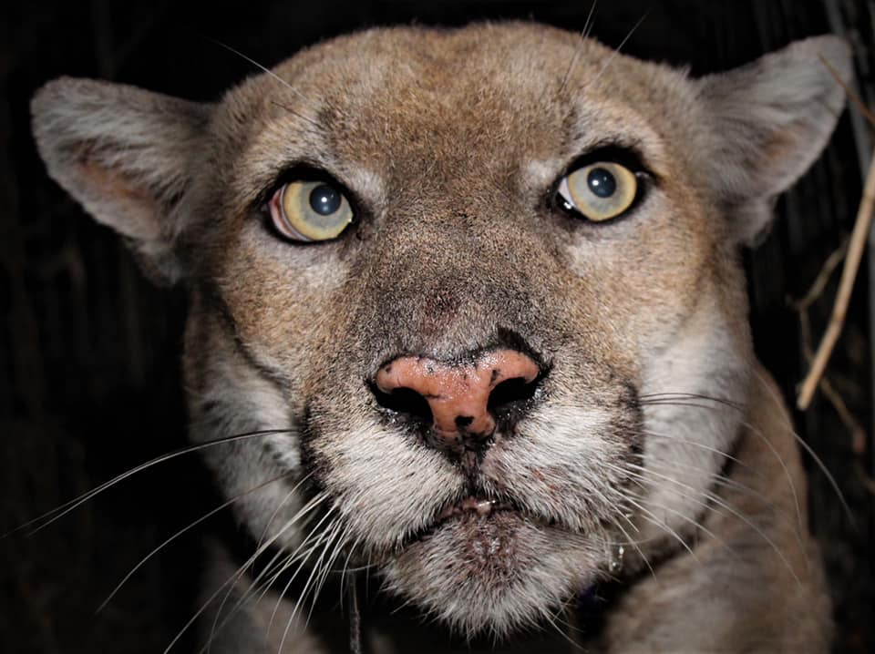 Mountain lion P-22 is seen is in a photo released by the National Park Service on Feb. 18, 2021. (NPS / Jeff Sikich)