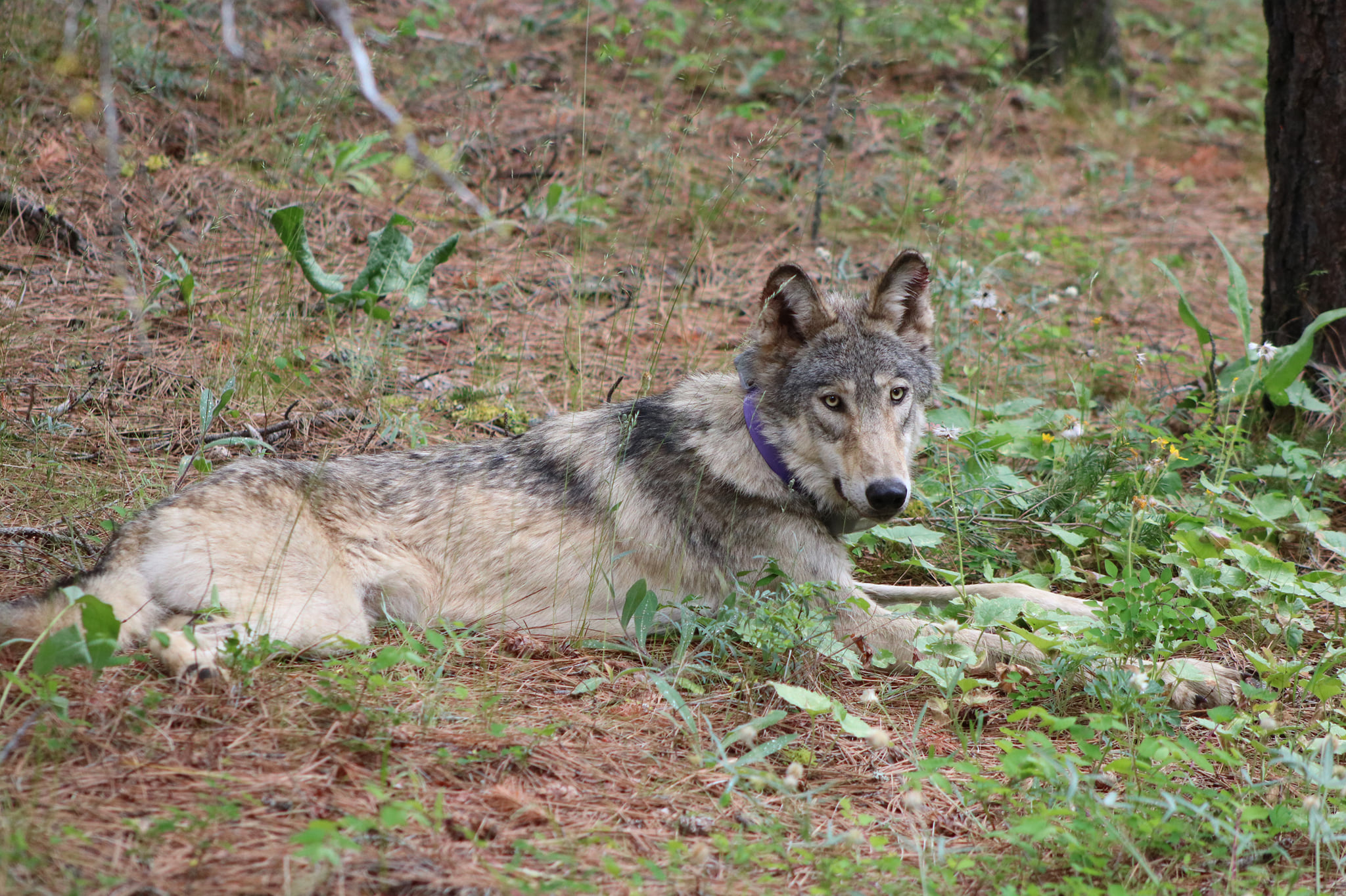 A GPS-collared gray wolf is seen in an undated photo released by the California Department of fish and Wildlife.