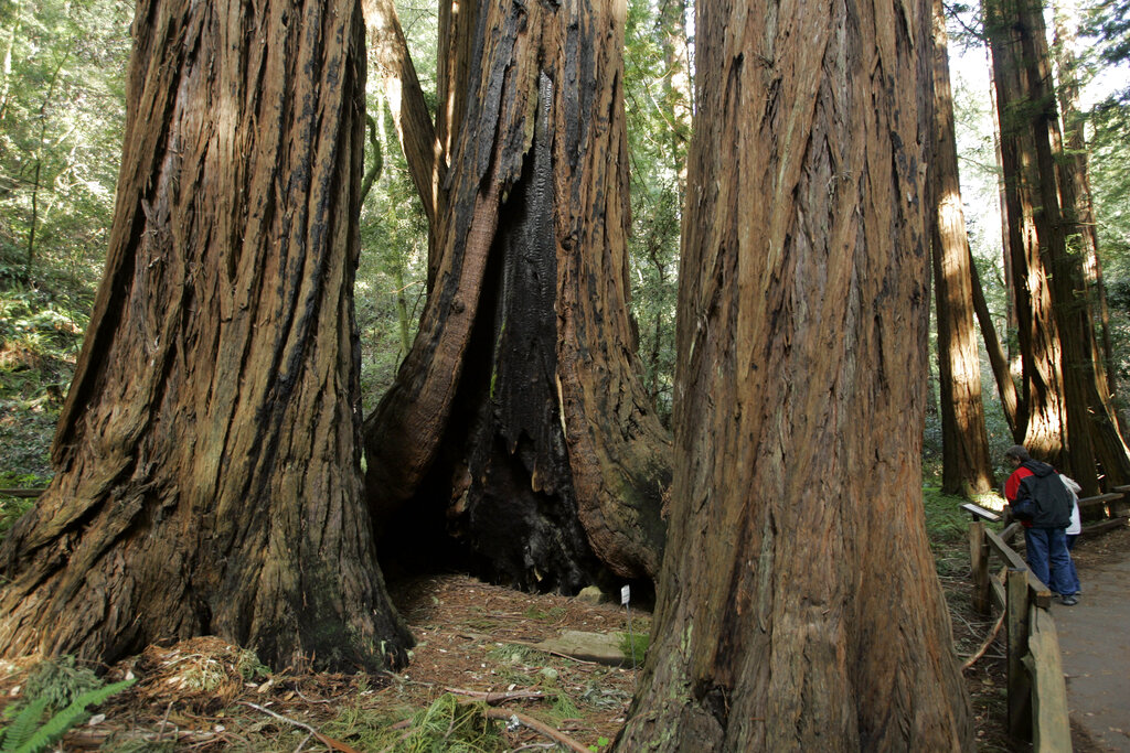 Redwoods trees are at the Muir Woods National Monument in Marin County in this March 31, 2008file photo. (AP Photo/Eric Risberg)