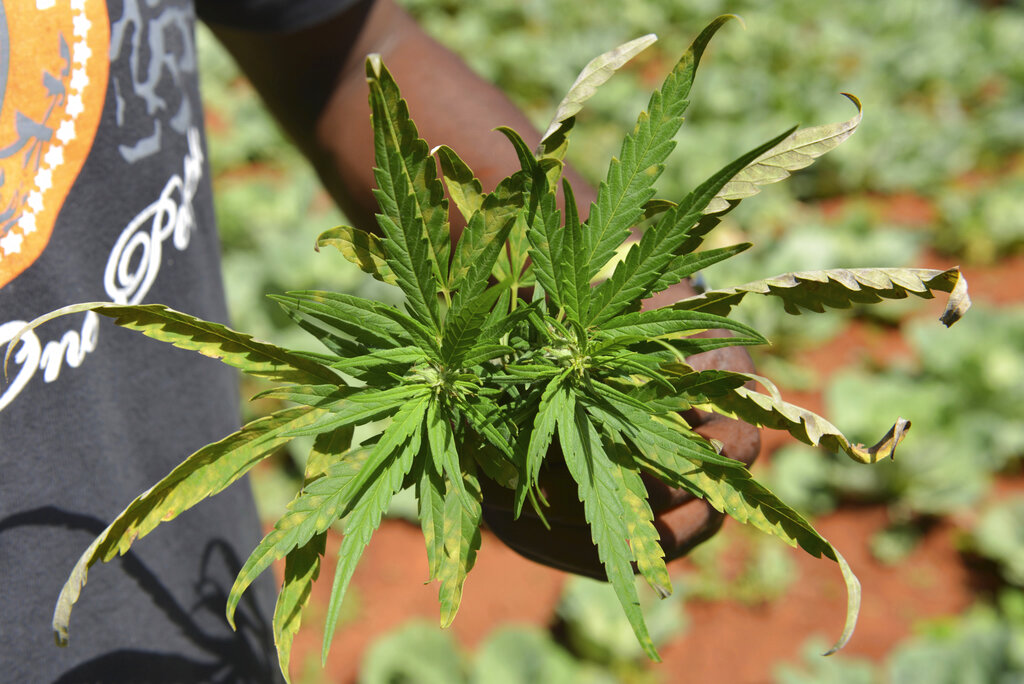 In this Aug. 29, 2013 file photo, farmer Breezy shows off the distinctive leaves of a marijuana plant during a tour of his plantation in Jamaica's central mountain town of Nine Mile. While the island has a regulated medical marijuana industry and decriminalized small amounts of weed in 2015, it is running low on the illegal market, due to heavy heavy rains followed by extended drought, an increase in consumption and a drop in the number of traditional marijuana farmers. (AP Photo/David McFadden, File)