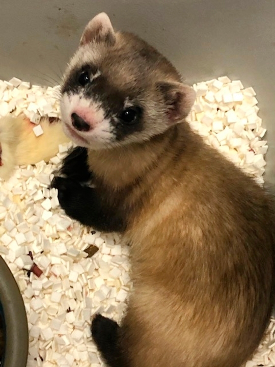 In this photo provided by the U.S. Fish and Wildlife Service is Elizabeth Ann, the first cloned black-footed ferret and first-ever cloned U.S. endangered species, at 48-days old on Jan. 27, 2021. Scientists have cloned the first U.S. endangered species, a black-footed ferret duplicated from the genes of an animal that died over 30 years ago. They hope the slinky predator named Elizabeth Ann and her descendants will improve the genetic diversity of a species once thought extinct but bred in captivity and reintroduced successfully to the wild. (U.S. Fish and Wildlife Service via AP)