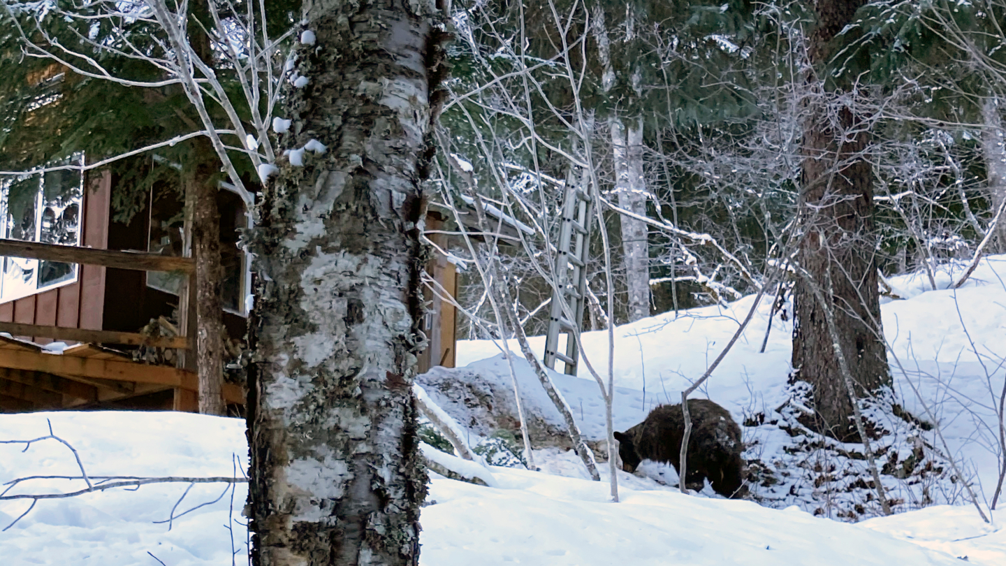 This Feb. 14, 2021, photo provided by Julia Heinz shows a bear seen near where Alaska resident Shannon Stevens was bit from underneath a day before while in an outhouse northwest of Haines, Alaska. (Julia Heinz MD via Associated Press)