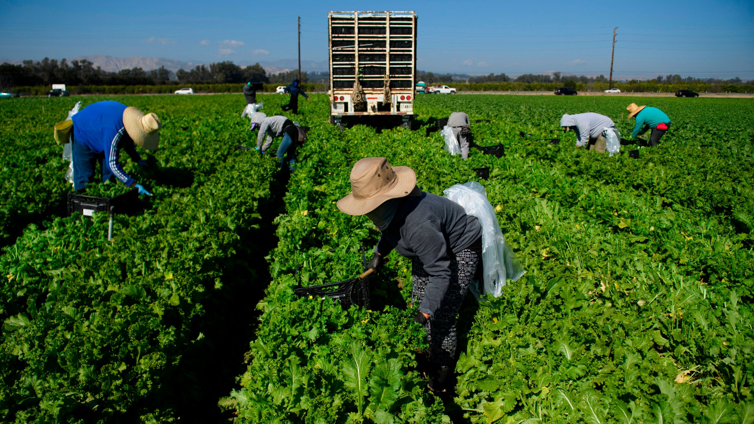 Farmworkers wear face masks while harvesting curly mustard in a field on February 10, 2021 in Ventura County, California. (Patrick T. Fallon/AFP via Getty Images)