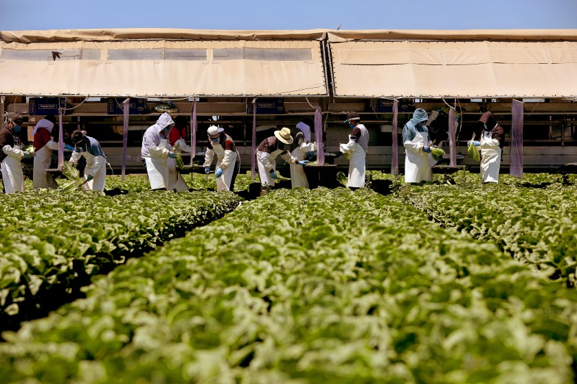Farmworkers, separated by newly-installed vinyl curtains to help protect from the spread of the coronavirus, harvest field pack romaine hearts in May. (Gary Coronado/Gary Coronado/Los Angeles Times)