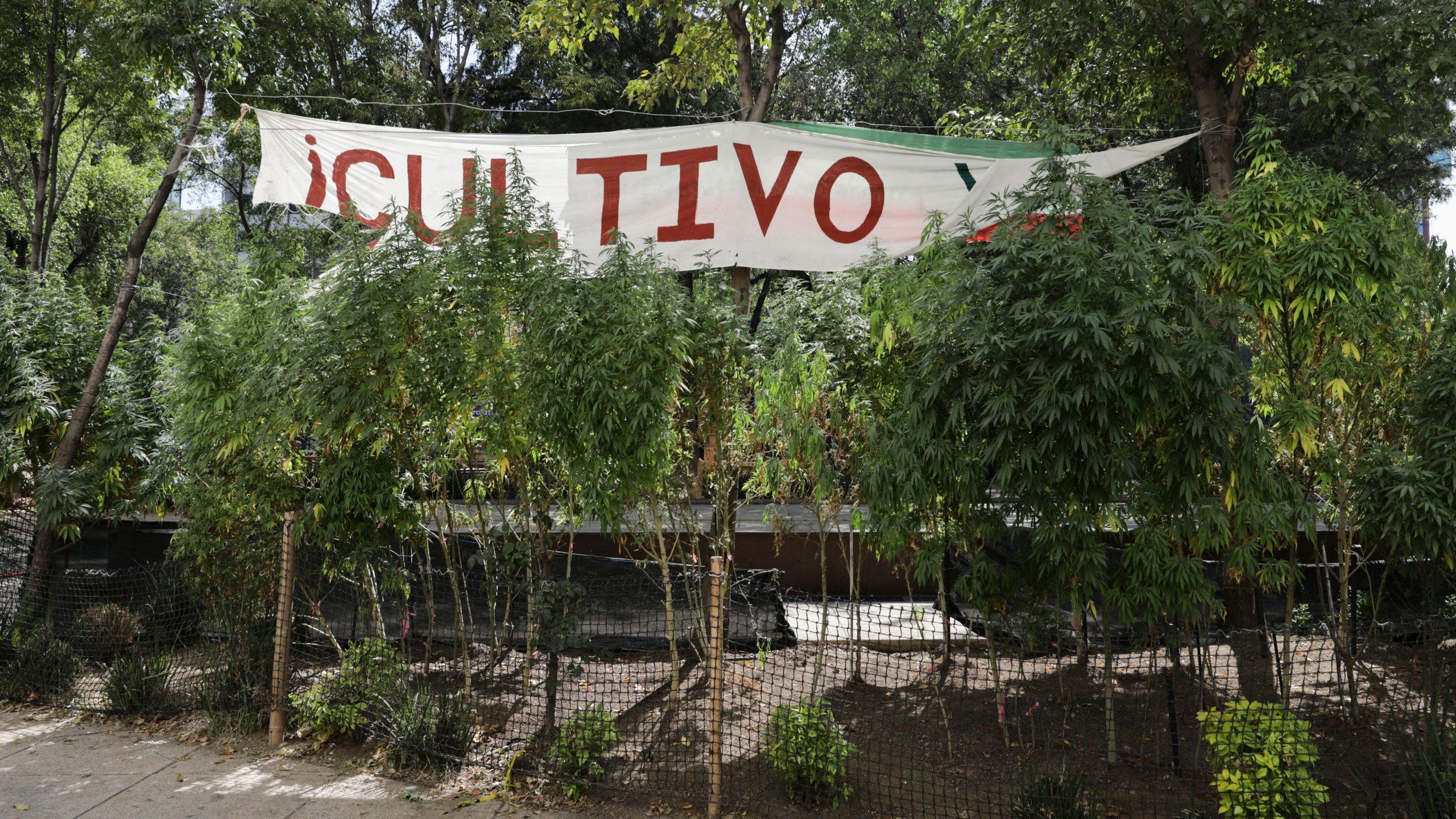 Marijuana plants grow at a makeshift camp outside of the Senate building in Mexico City on Nov. 19, 2020. Mexican marijuana activists had been camping outside the Senate since February, growing a crop of marijuana plants and smoking it as a way to pressure the government into legalizing recreational cannabis. (Eduardo Verdugo / Associated Press)