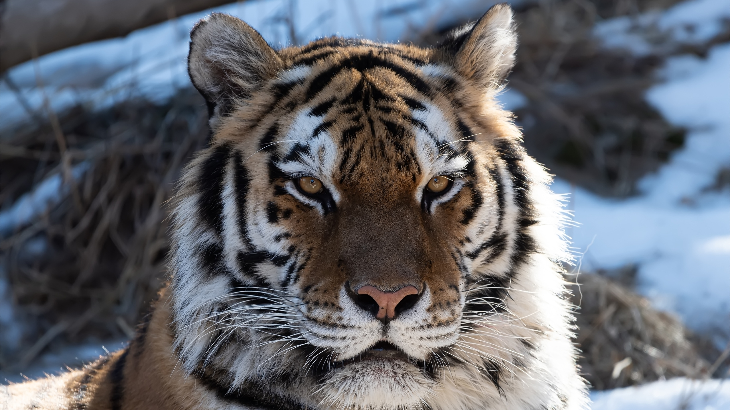 An Amur tiger is seen in an undated photo released Feb. 24, 2021, by the Cheyenne Mountain Zoo.