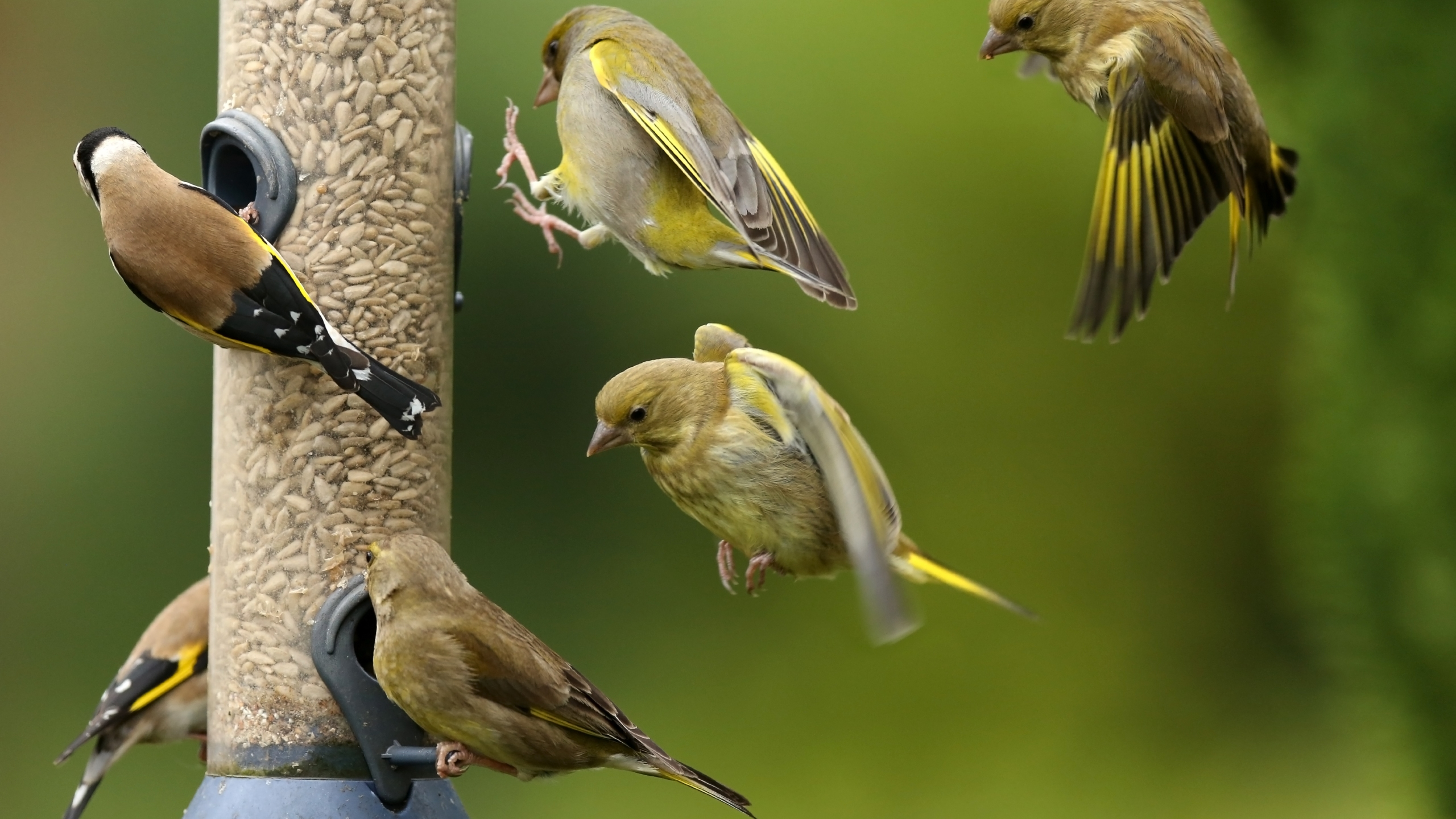 Greenfinches and goldfinches are seen on and around a bird feeder in this file photo. (Getty Images)