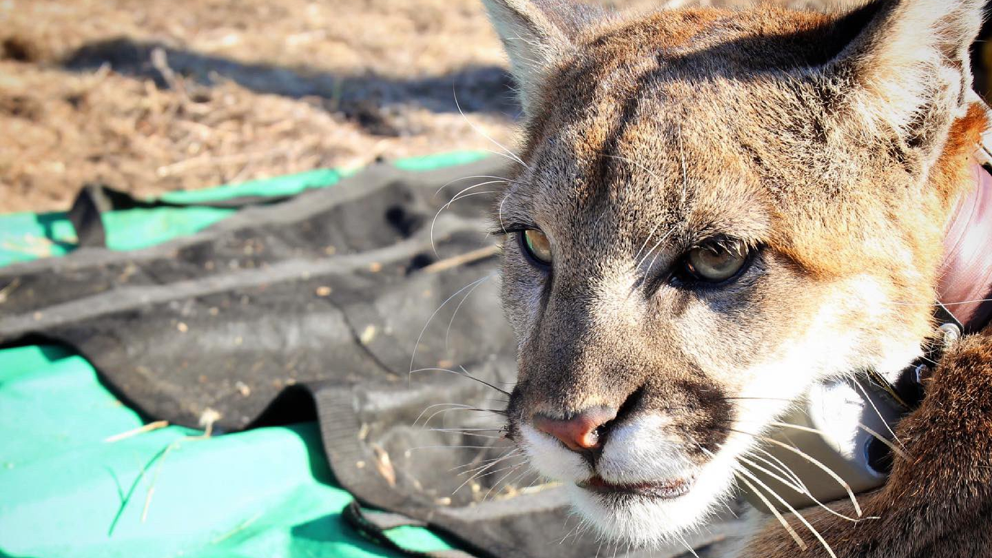 Mountain lion P-95 is seen in an undated photo released March 5, 2021, by the Santa Monica Mountains National Recreations Area.